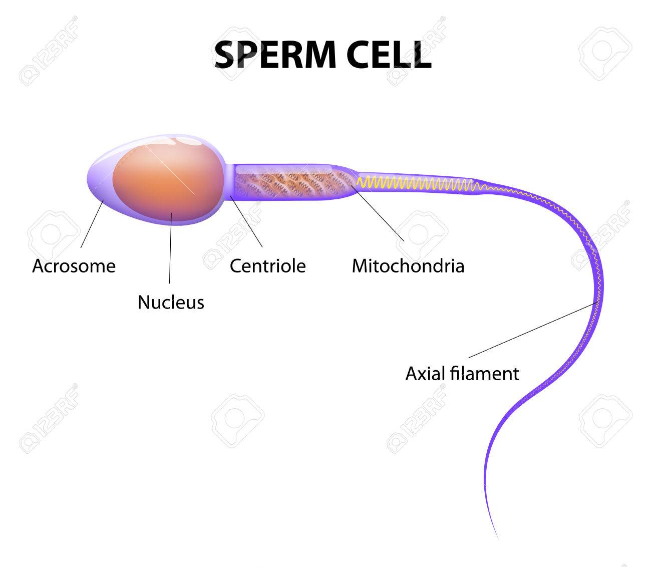 Sperm cell parts