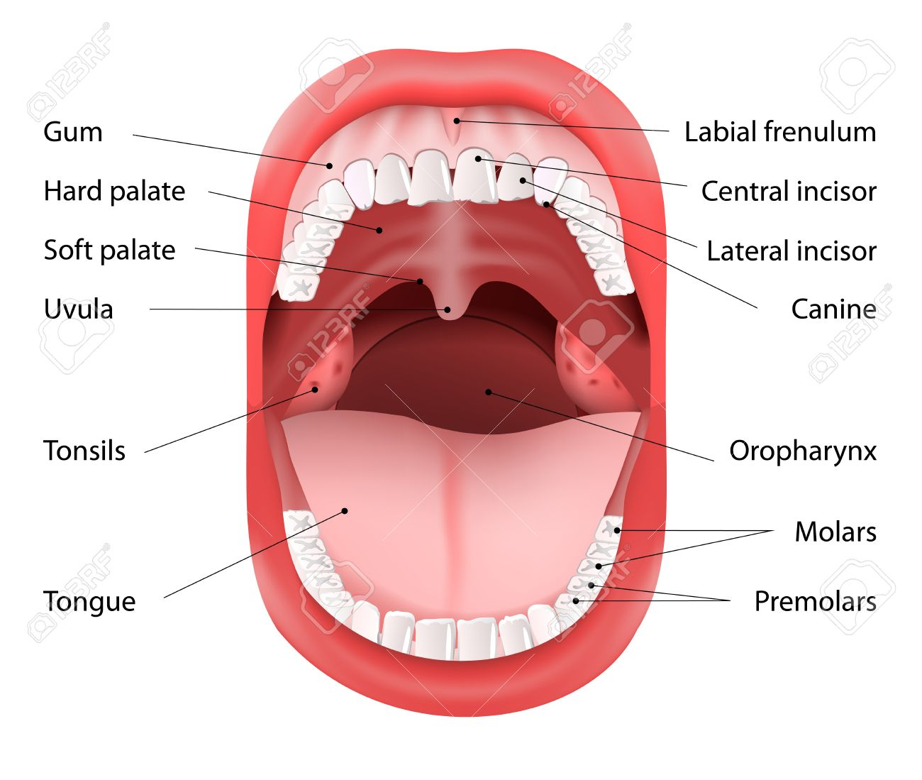 Parts of human mouth open mouth and white healthy teeth vector parts of human mouth open mouth and white healthy teeth vector diagram with ccuart Gallery