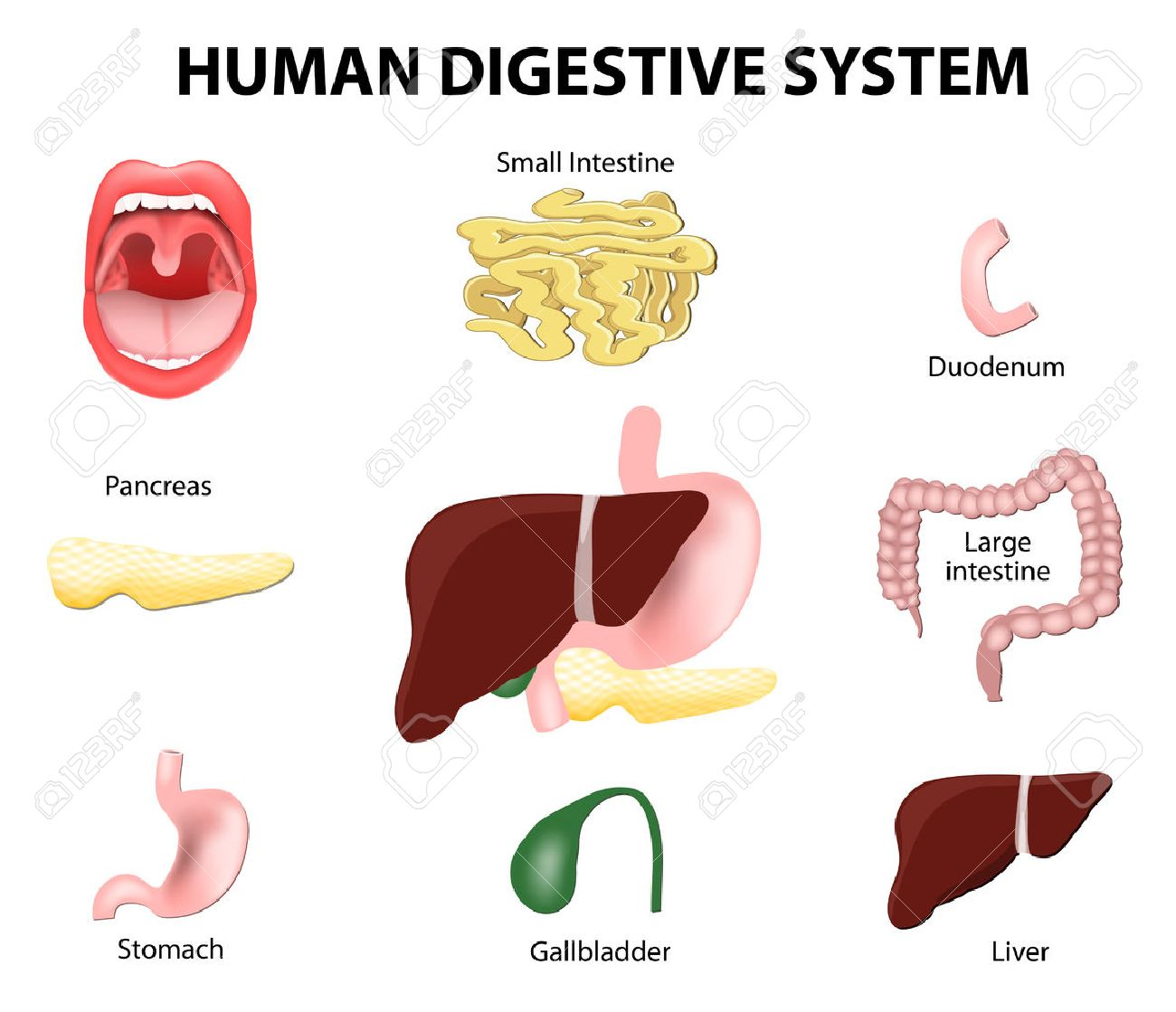 Human Anatomy. Gastrointestinal Tract Or Digestive System. Royalty ...