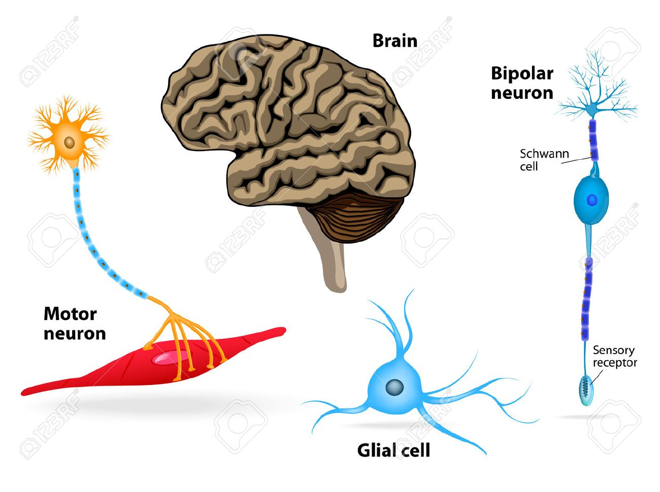 Nervous System Human Anatomy Brain Motor Neuron Glial And