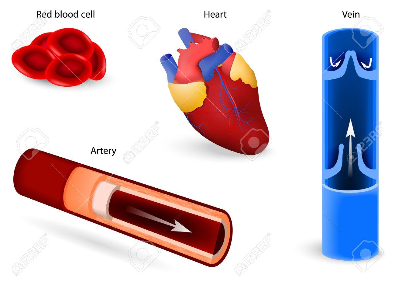 Anatomie Des Menschen. Elemente Des Kreislaufsystems: Rote ...