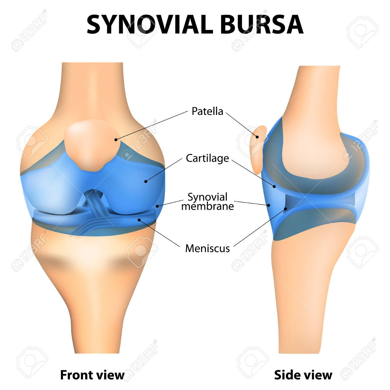 Synovial Joint. Human Anatomy. Royalty Free Cliparts, Vectors, And ...