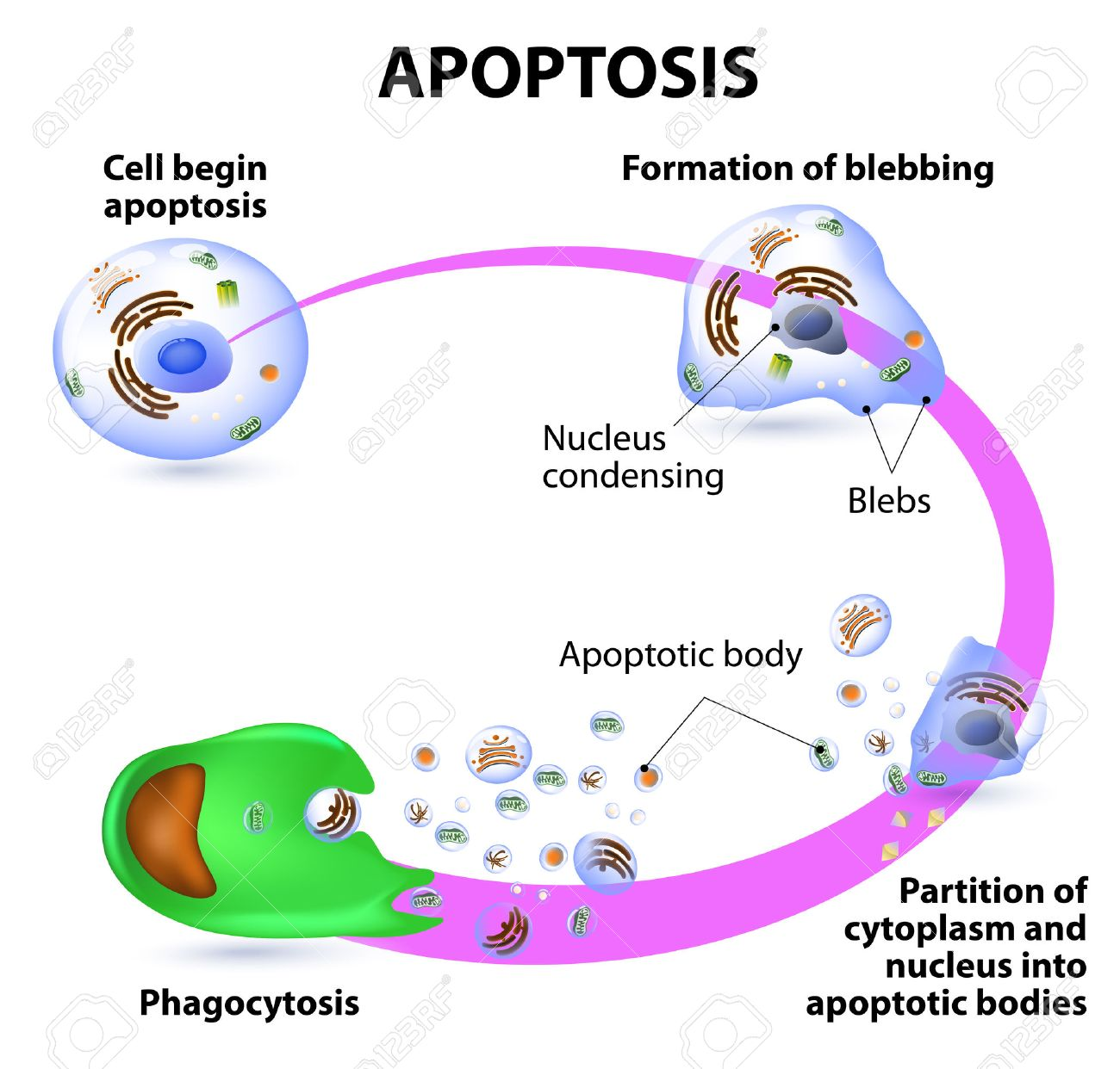 Apoptosis is the process of programmed cell death vector diagram apoptosis is the process of programmed cell death vector diagram imagens 32708575 ccuart Images