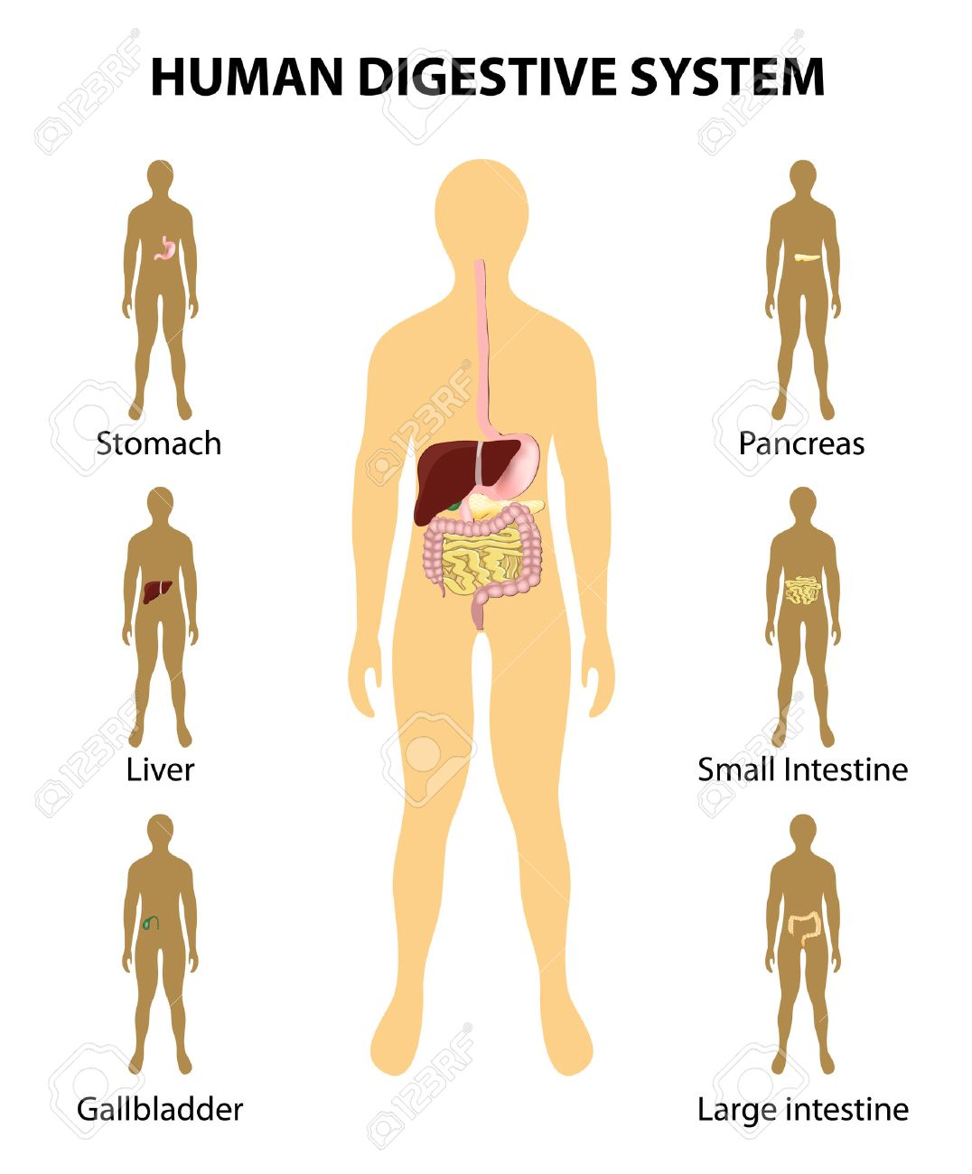 Human Anatomy. Digestive System. Organs Highlighted On The ...