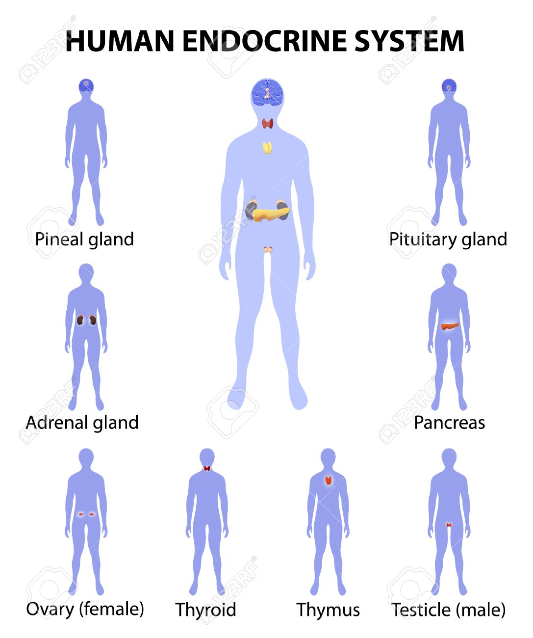 Human Endocrine System. Human Silhouette With Endocrine Glands ...