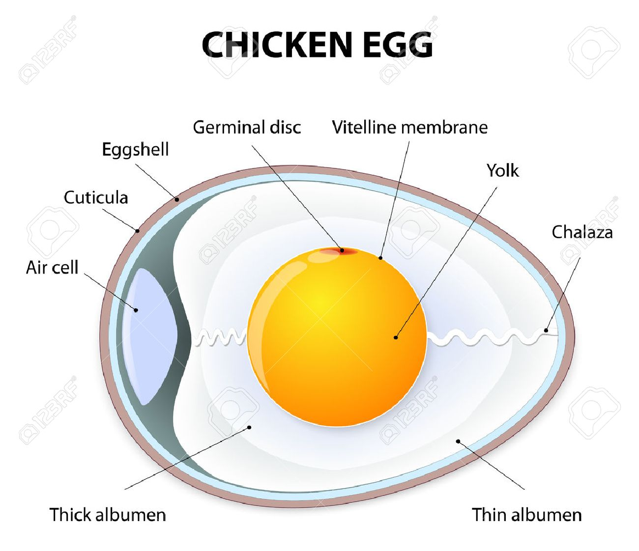 Schematic Of A Chicken Egg. Illustration Showing The Bird Egg ...