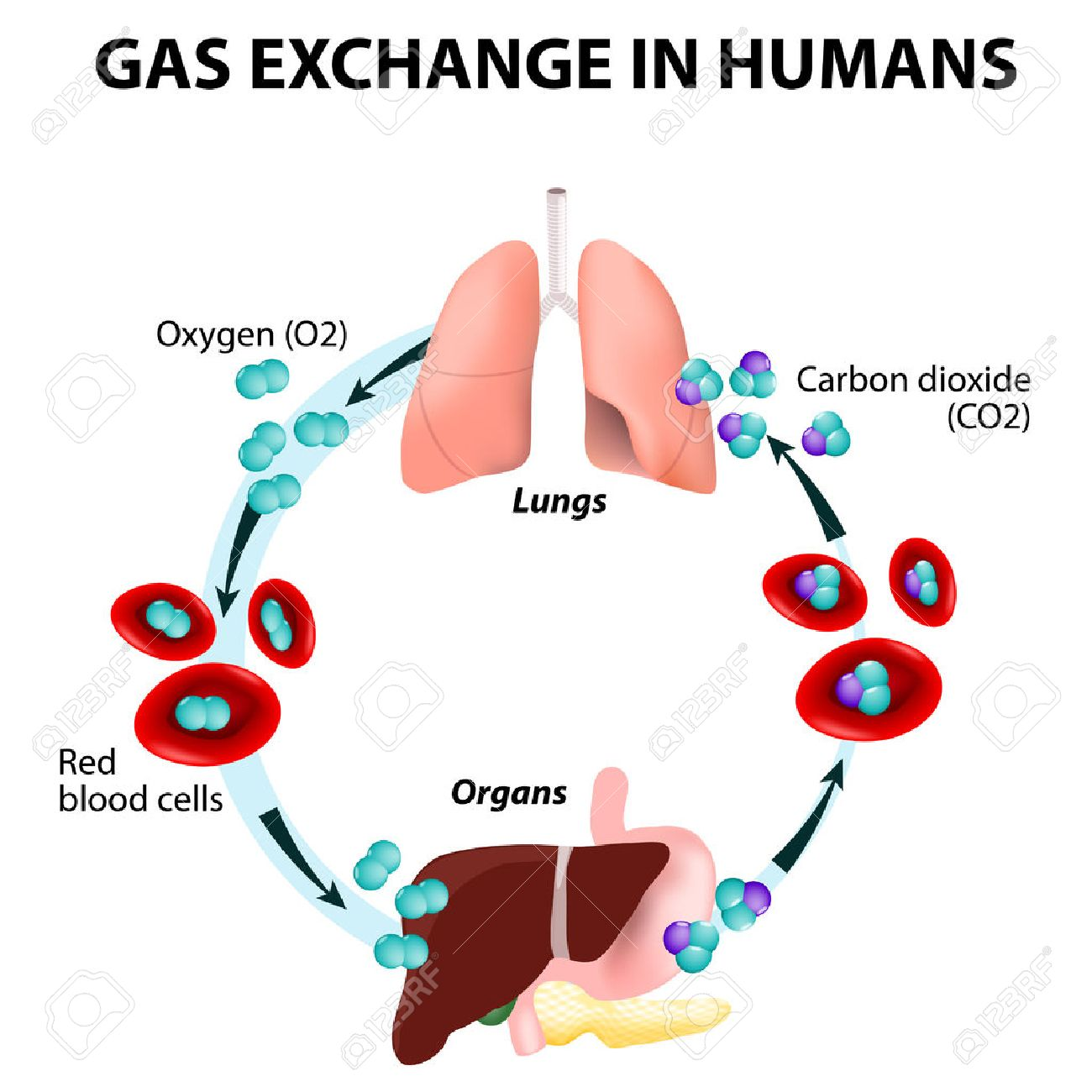 Gas exchange in humans path of red blood cells oxygen transport path of red blood cells oxygen transport cycle both pooptronica Choice Image