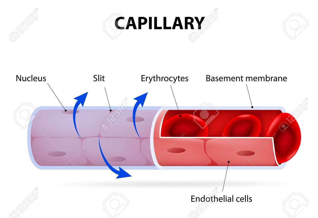 capillary blood vessel labelled vector diagram Pearson Respiratory Capillary Diagram