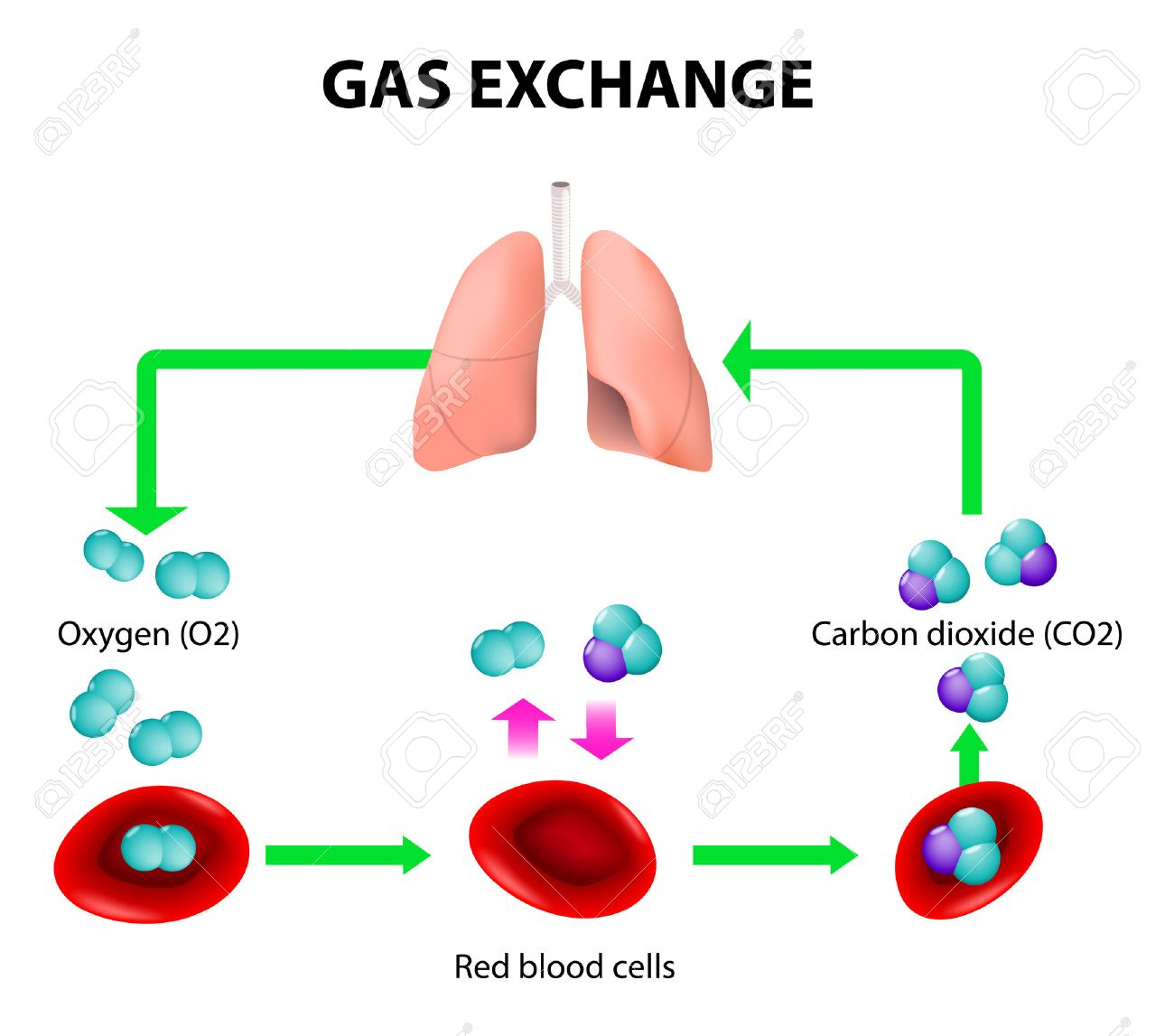 Gas exchange in humans path of red blood cells oxygen transport gas exchange in humans path of red blood cells oxygen transport cycle both ccuart Choice Image