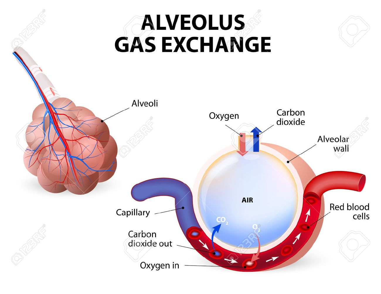 Alveolus Gas Exchange, Alveoli And Capillaries In The Lungs. Royalty ...
