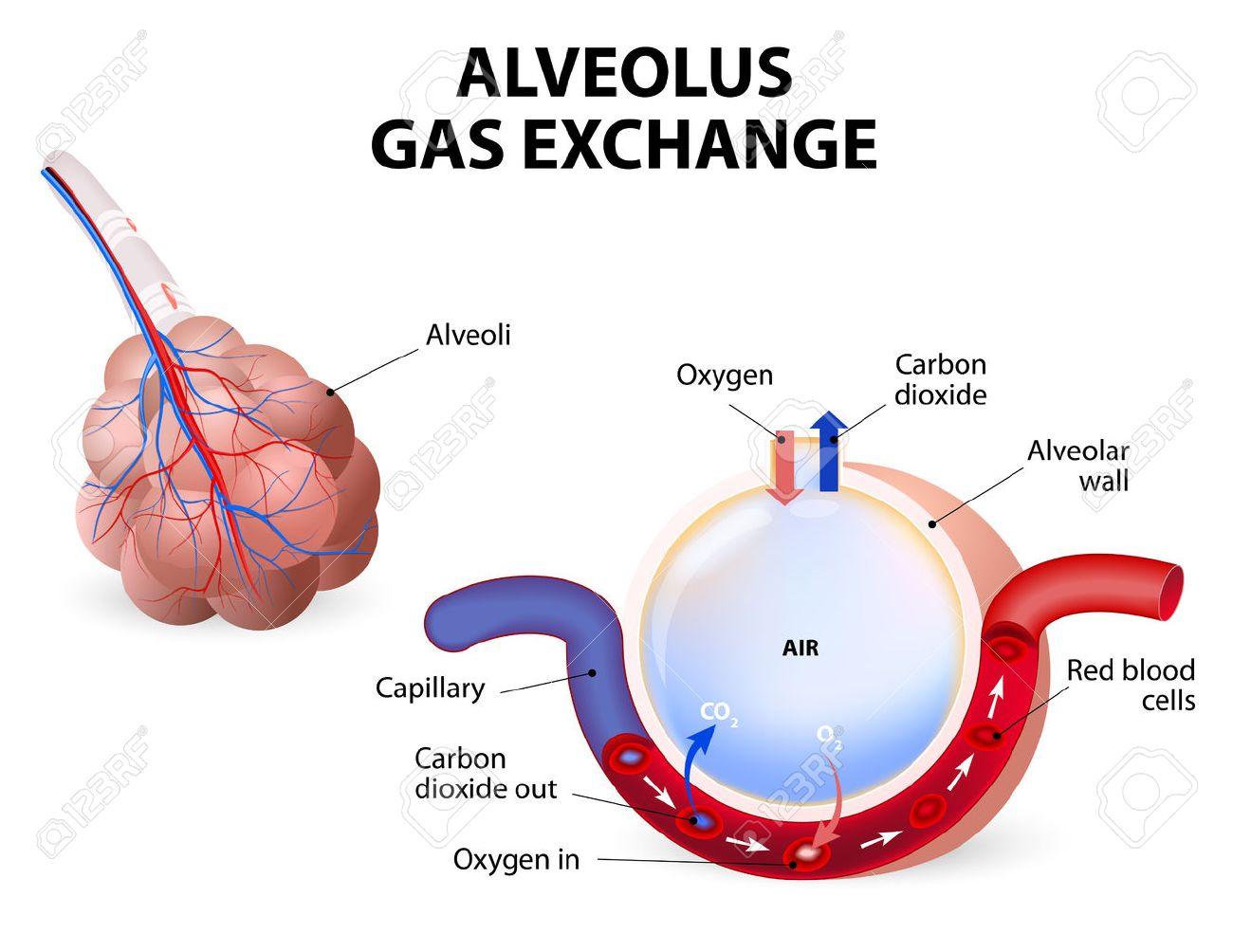 Intercambio Alveolo Gas, Alvéolos Y Los Capilares En Los Pulmones ...