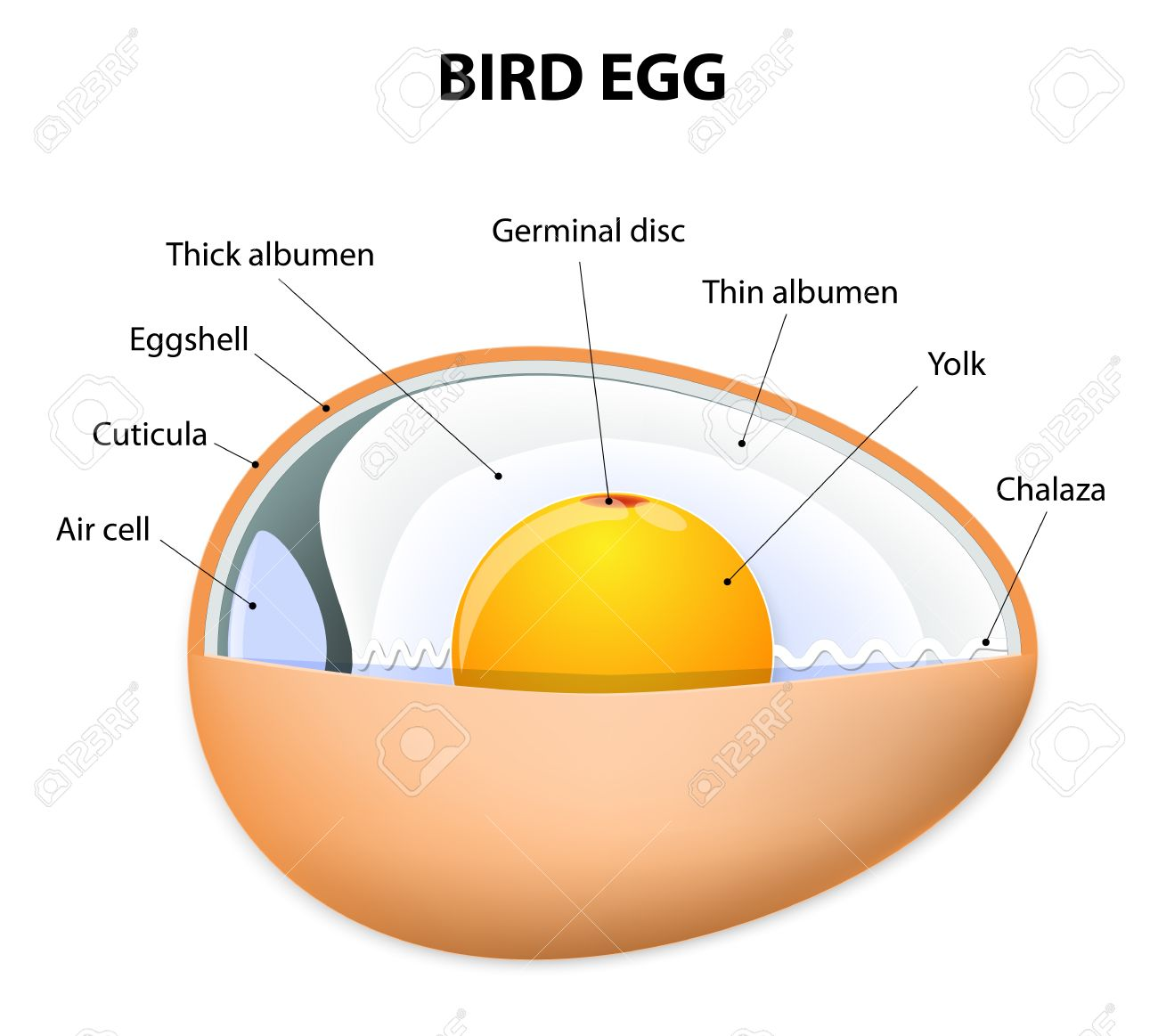 Chicken Egg Structure. Bird Anatomy Royalty Free Cliparts, Vectors ...