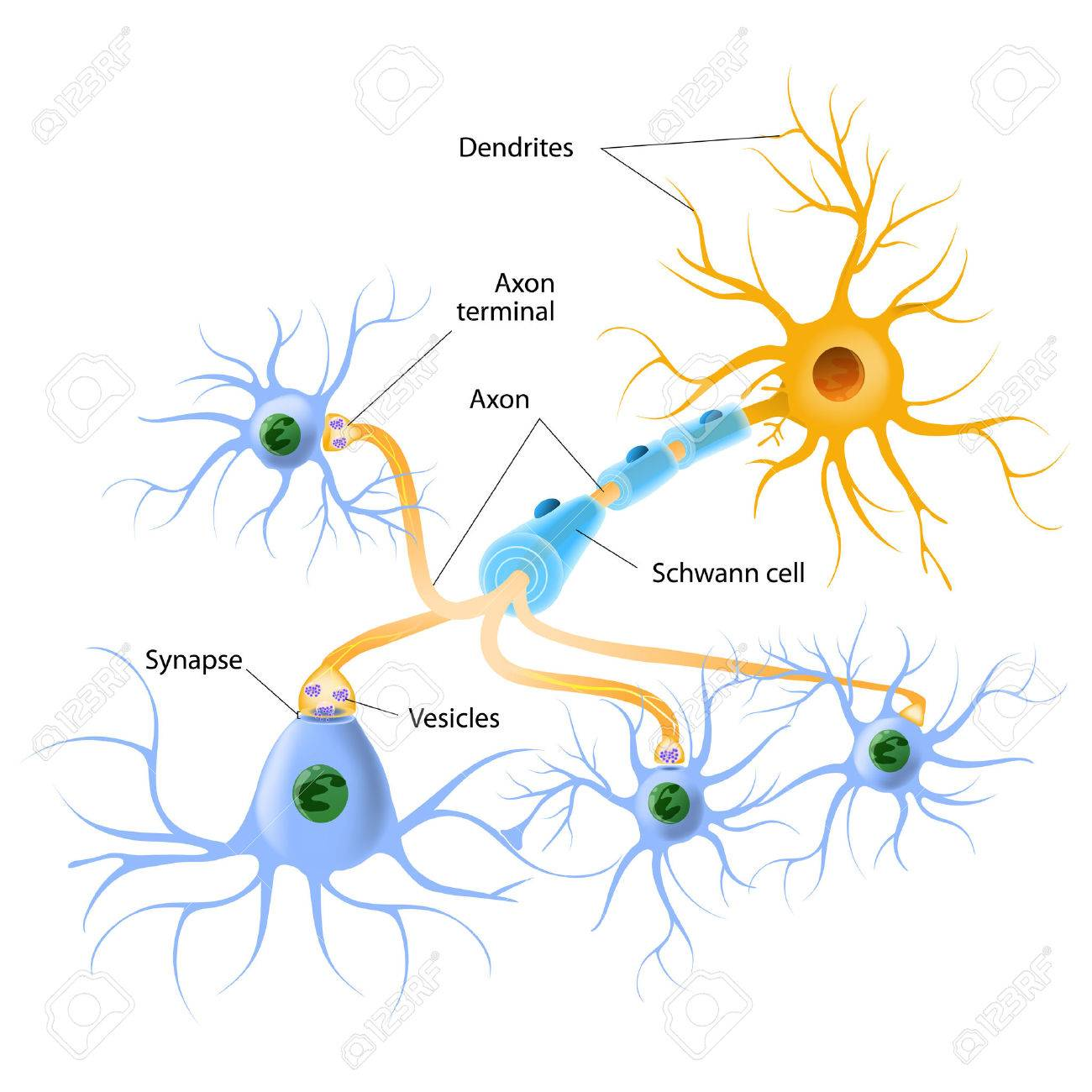 1181 Neuro Stock Illustrations Cliparts And Royalty Free Vectors Circuit Board Binary Code Vector Clipart Transmission Of Neurotransmitter Release Mechanisms Neurotransmitters Are Packaged Into Synaptic Vesicles Transmit Signals From A Neuron To