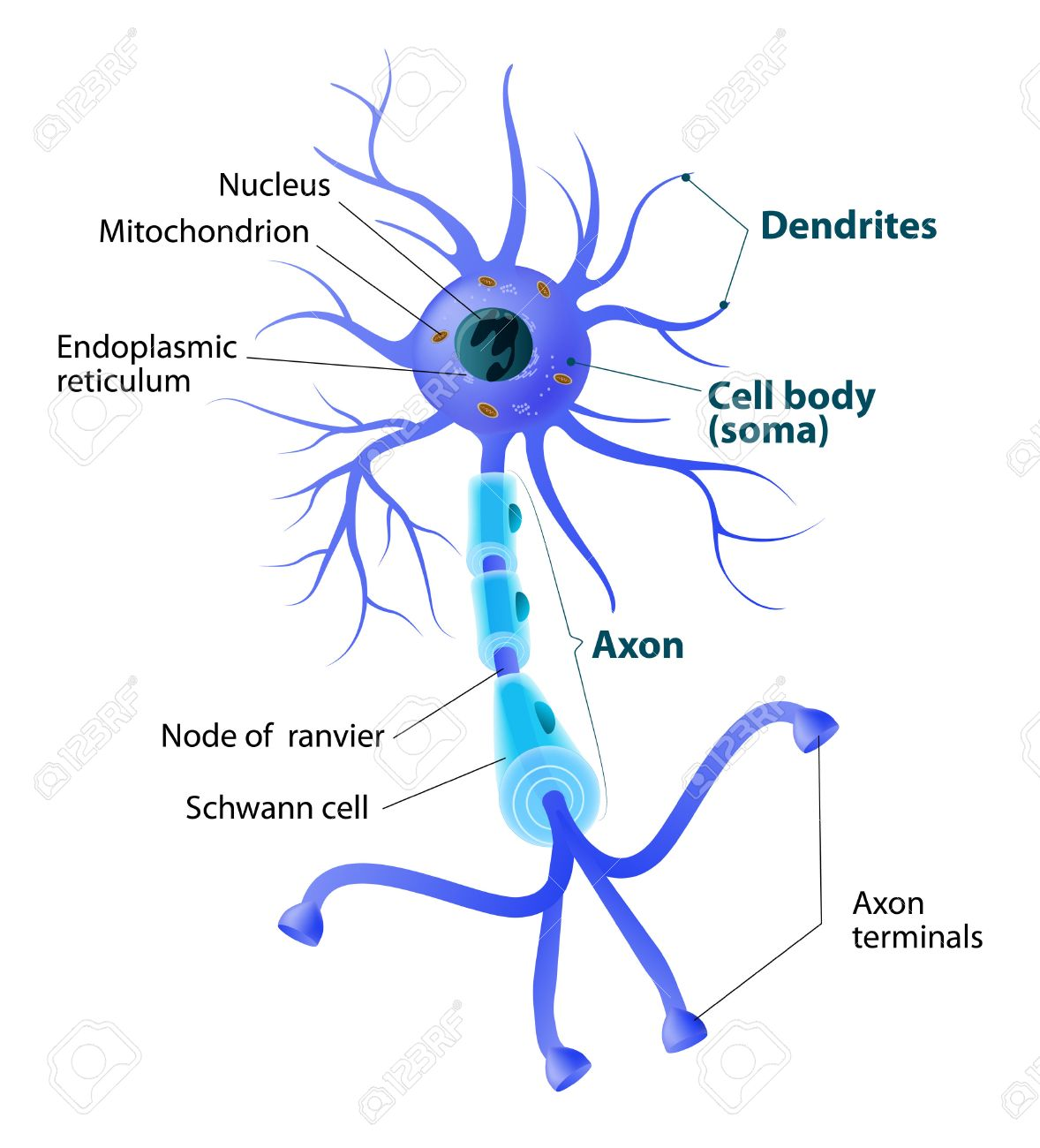 anatomy of a typical human neuron. structure neuron: axon, synapse