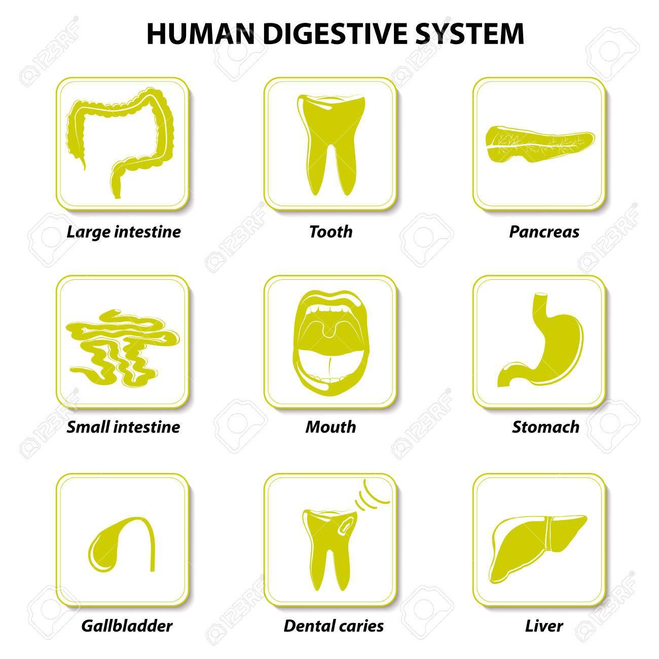 Conjuntos De Iconos. La Anatomía Humana. Tracto Gastrointestinal O ...