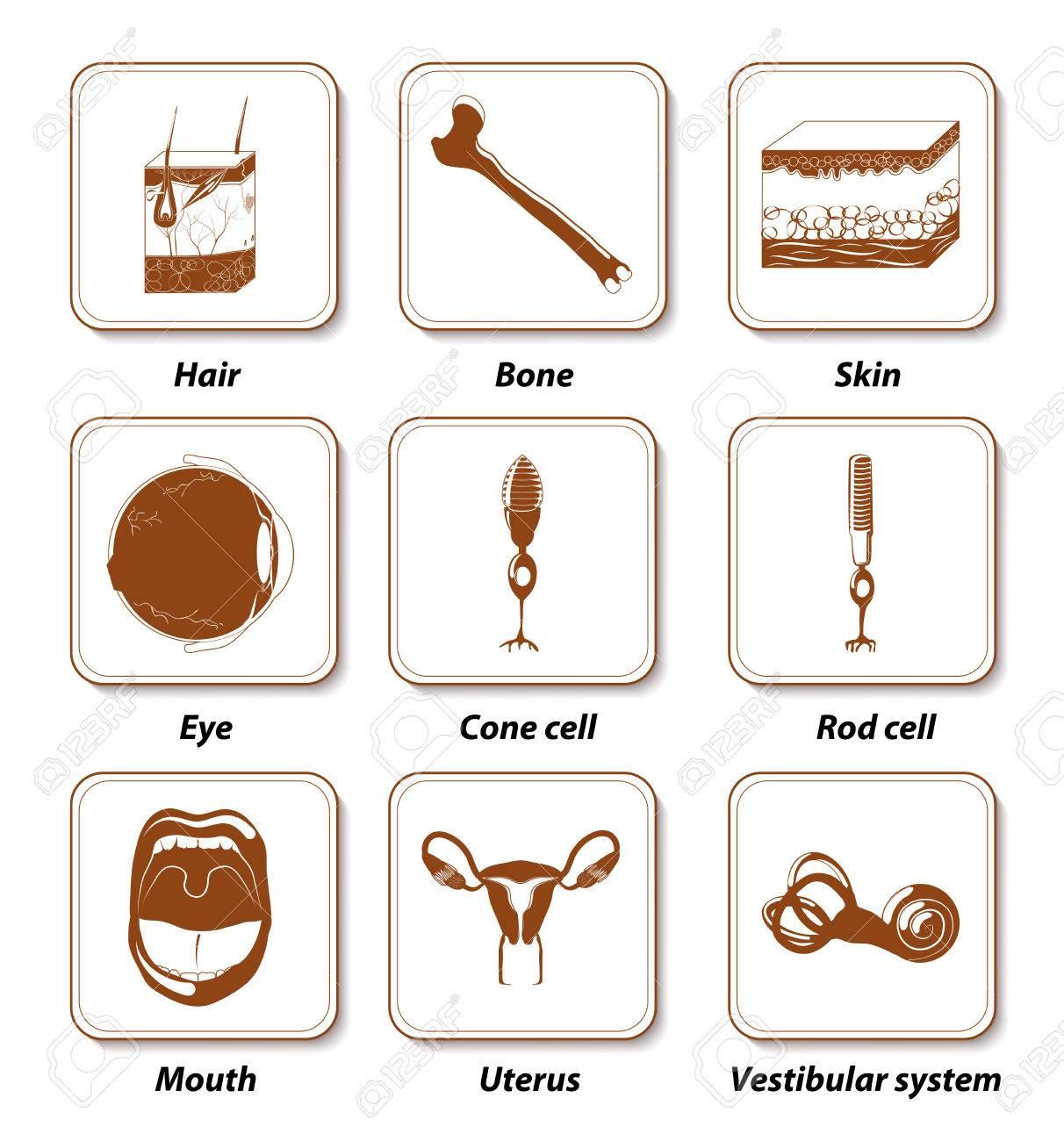 Icono Anatomía Humano Creado. órganos Humanos Internos Para La ...