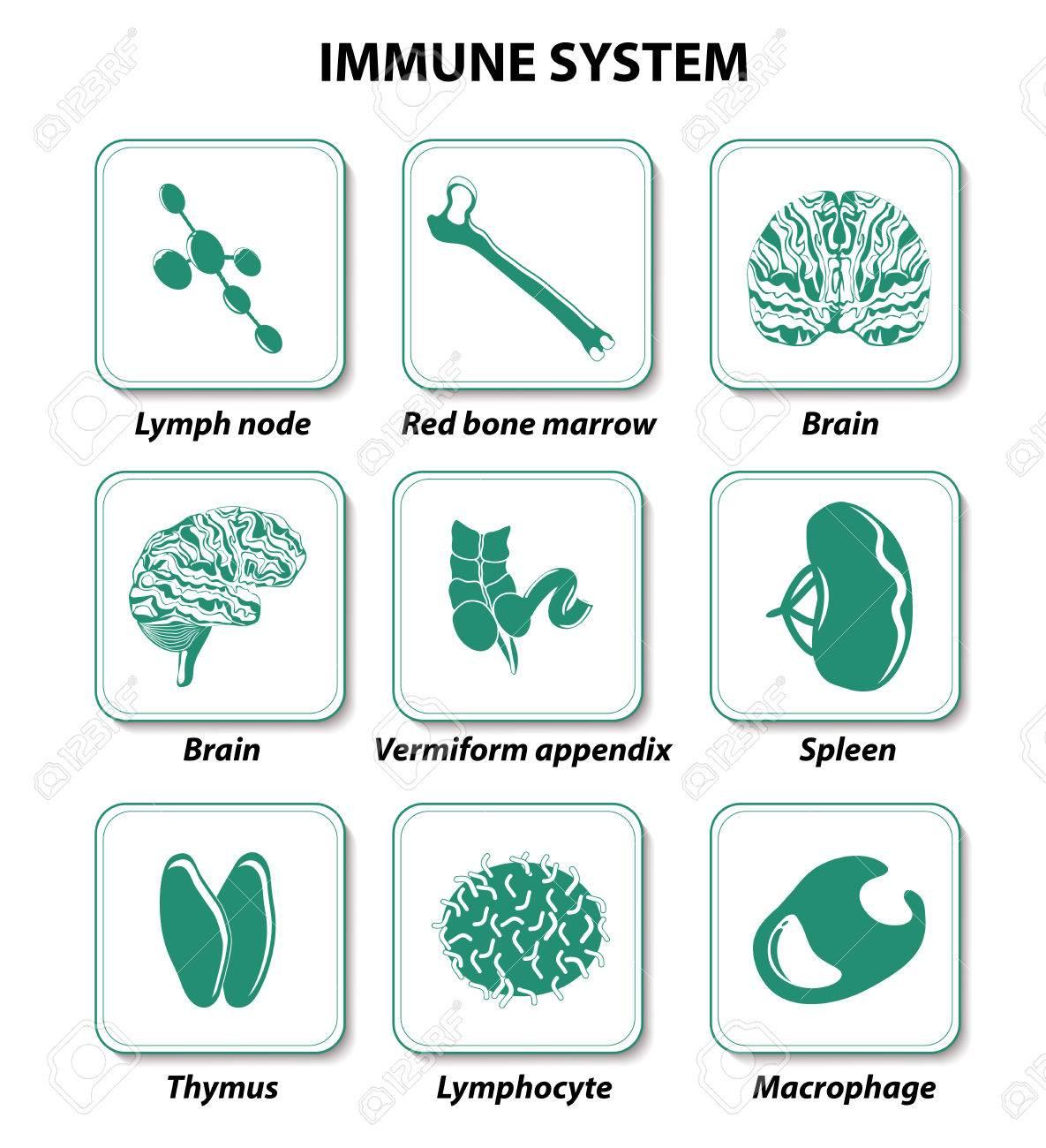 Establecer Iconos. Sistema Inmune. órganos Humanos Internos ...
