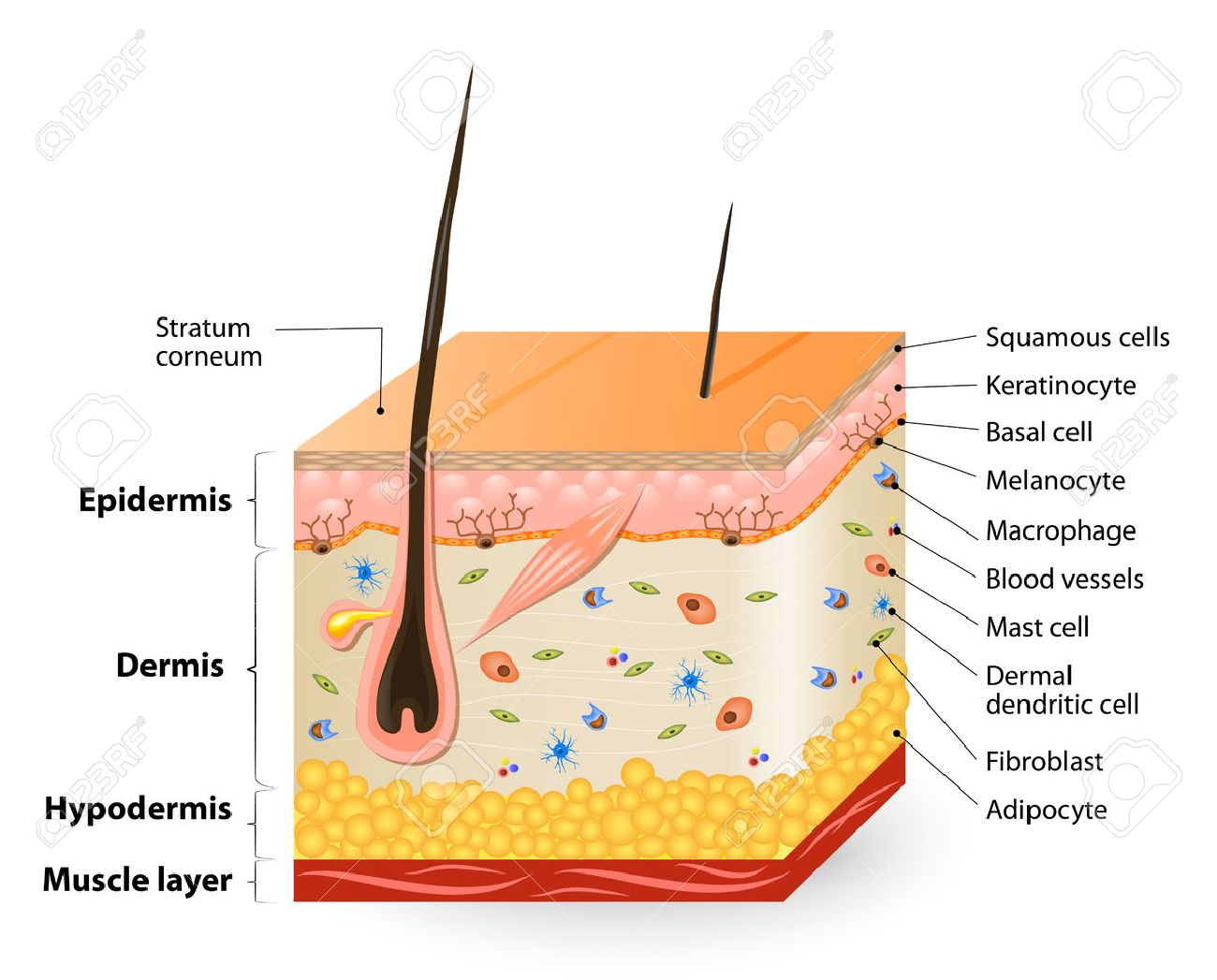 Structure of the human skin anatomy diagram different cell types structure of the human skin anatomy diagram different cell types populating the skin pooptronica