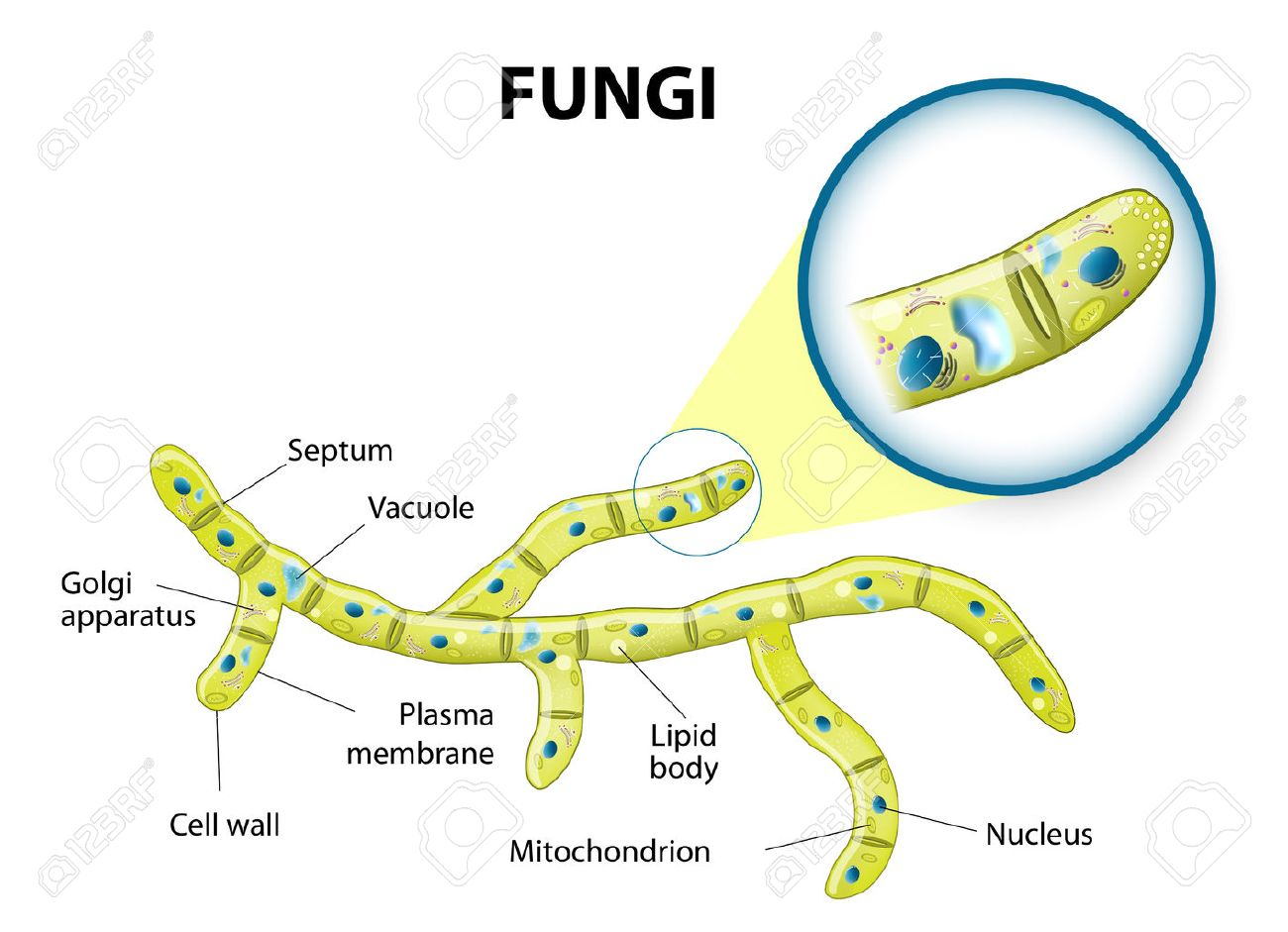 Typical fungi cell fungal hyphae structure fungi diagram typical fungi cell fungal hyphae structure fungi diagram illustrating the ultrastructure of a ccuart Images