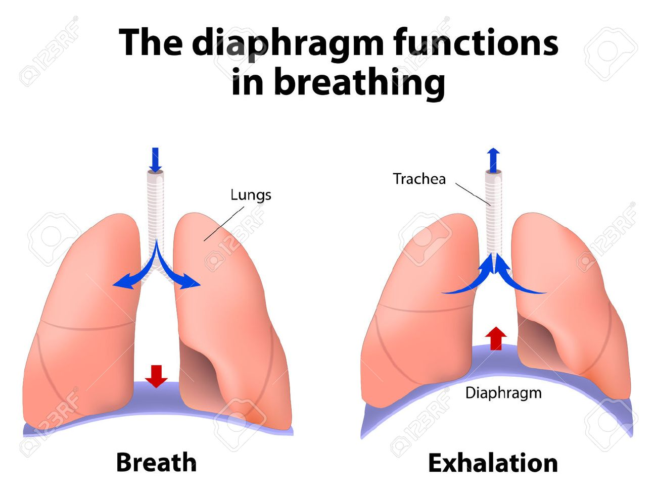 diaphragm functions in breathing. breath and exhalation. enlarging, Human Body
