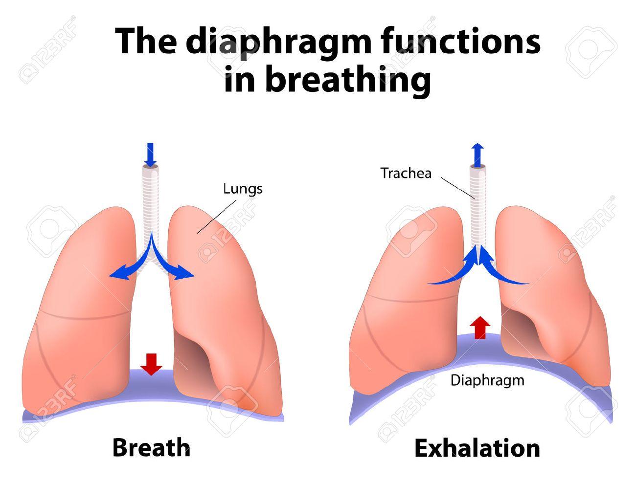 diaphragm functions in breathing. breath and exhalation. enlarging, Human body