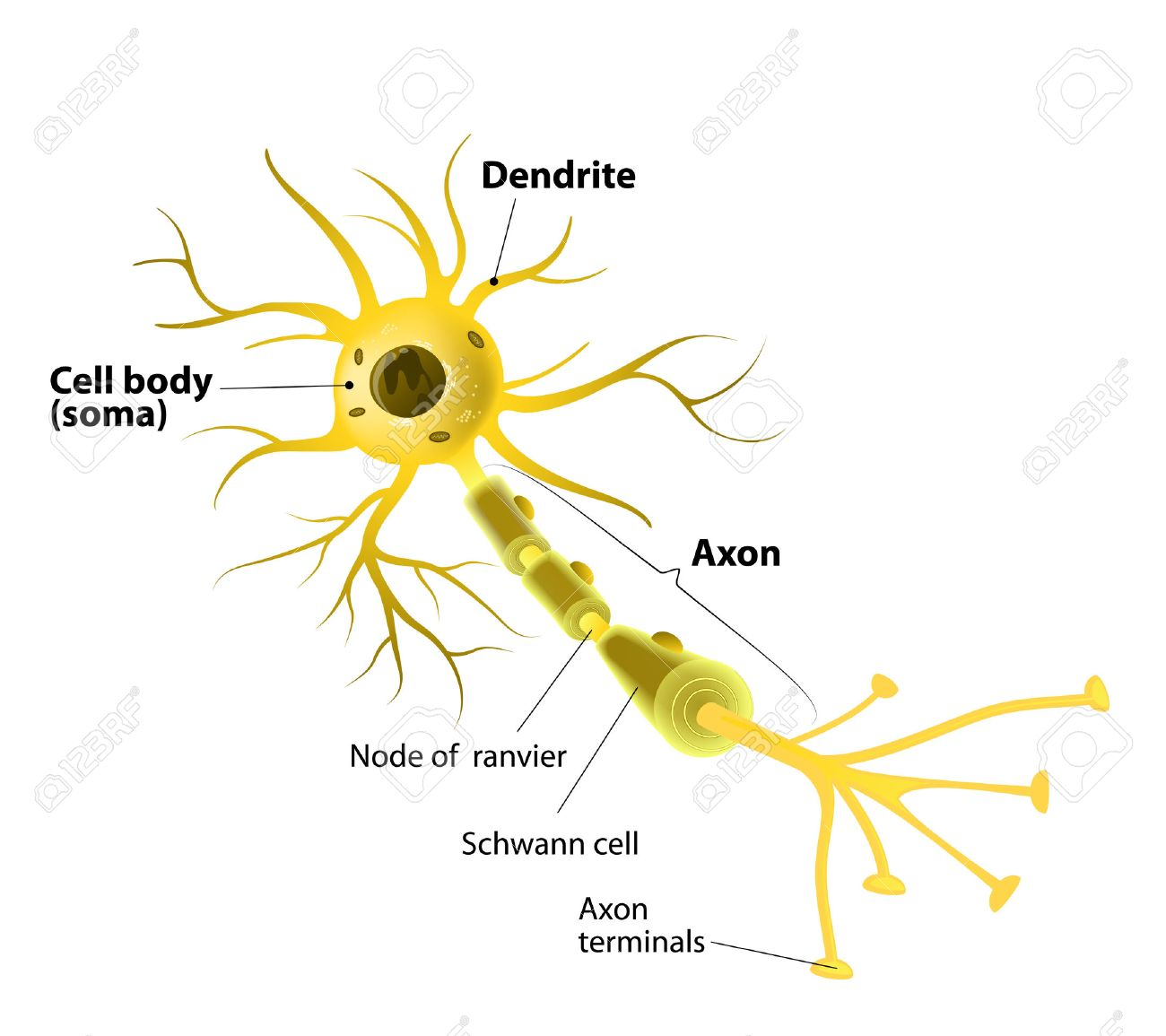 neuron and synapse labeled diagram royalty free cliparts, vectors