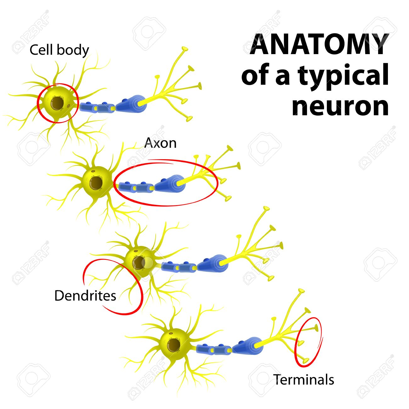 Anatomy Of A Typical Multipolar Neuron: Dendrite, Cell Body (soma ...