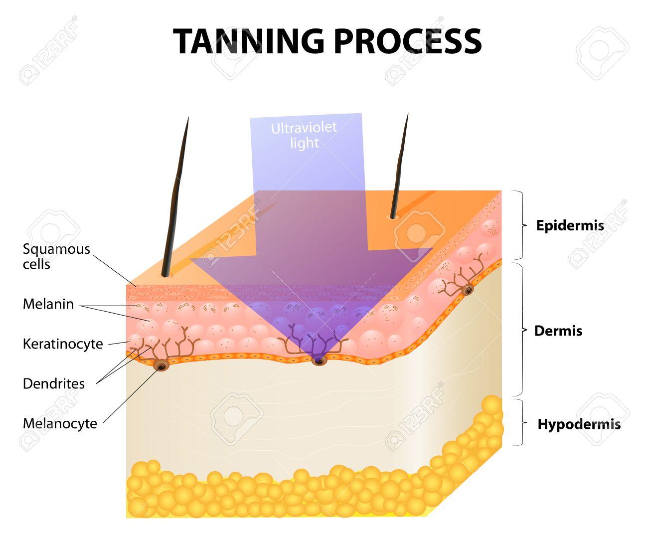 Tanning Process. Skin. Human Anatomy Royalty Free Cliparts, Vectors ...
