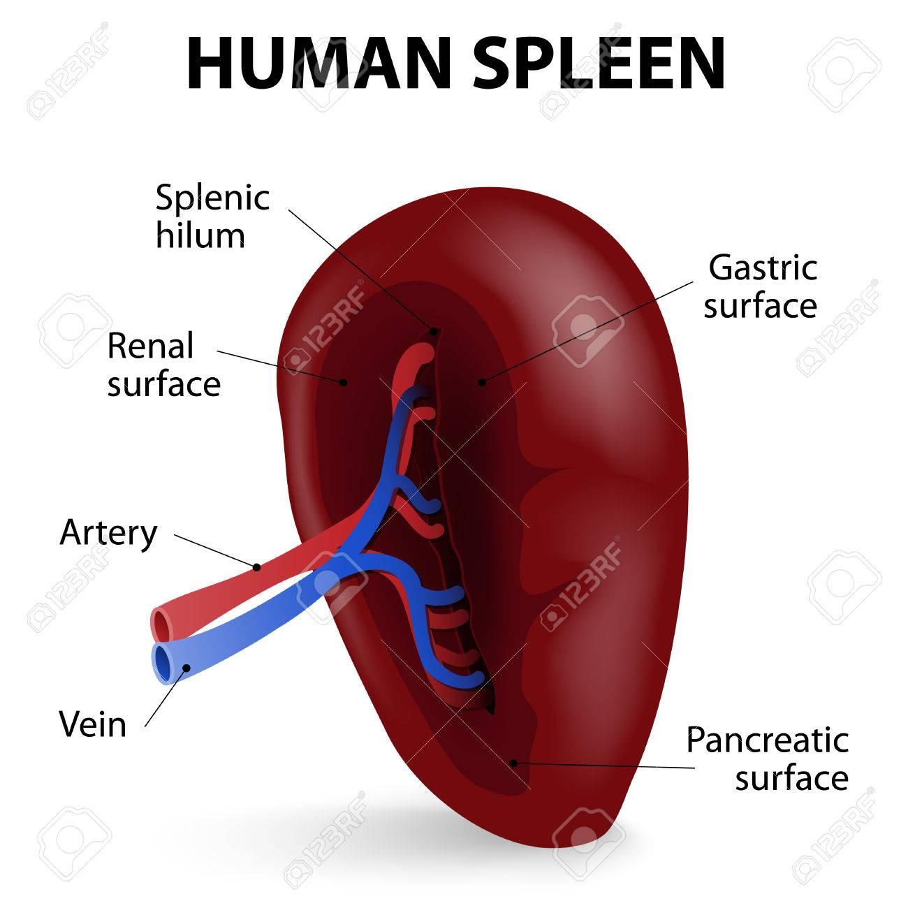 Visceral Surface Of The Spleen The Spleen Synthesizes Antibodies