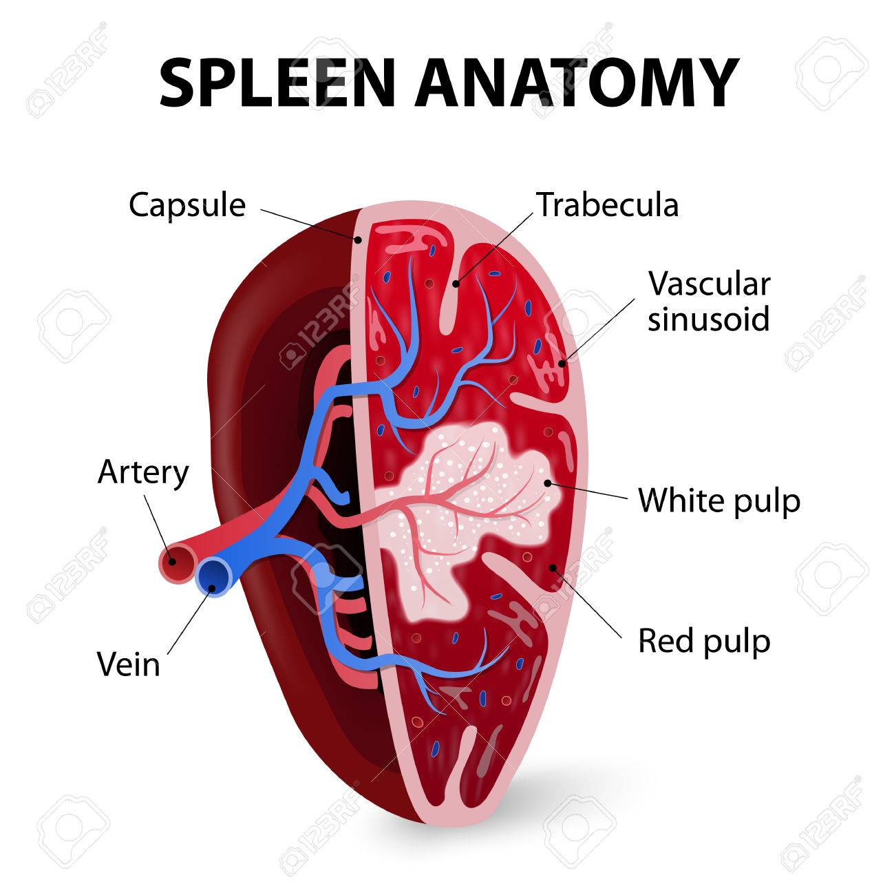 Spleen. Cross section. Illustration showing the trabecular tissue and the splenic vein and its tributaries. Human anatomy - 39490731