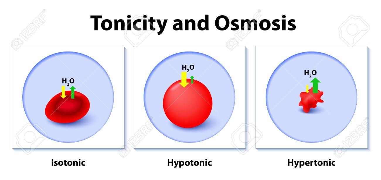 Isotónica, Hipotónica Y Se Hipertónicas Soluciones Efectos Sobre Las ...