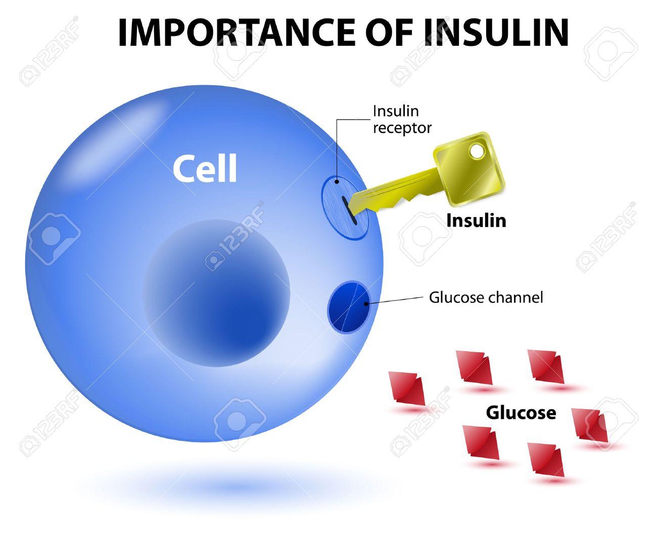 Insulin Dient Als Schlüssel, Die Die Zelle Entriegelt, Damit Glukose ...