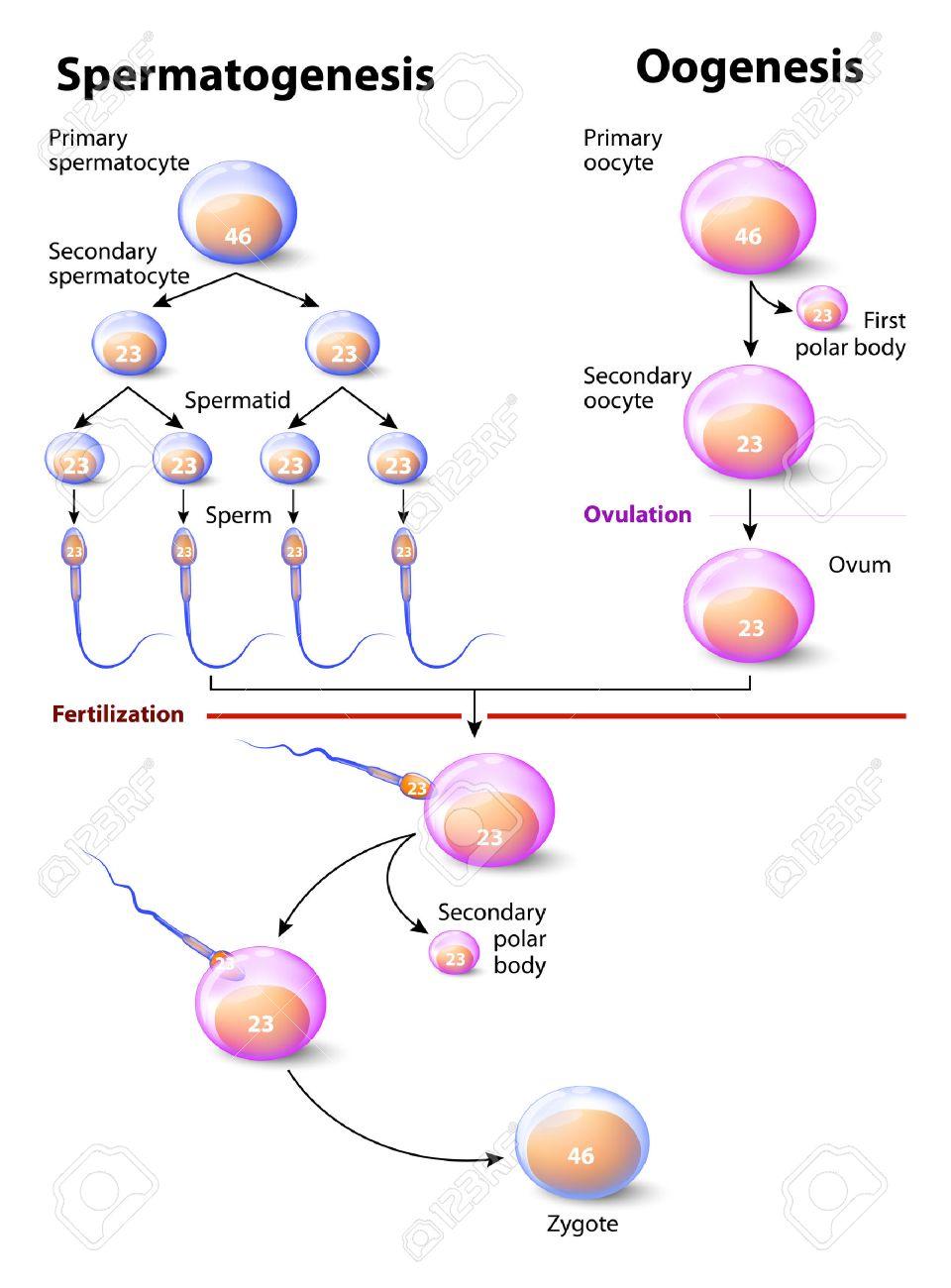 Oogenesis Stages