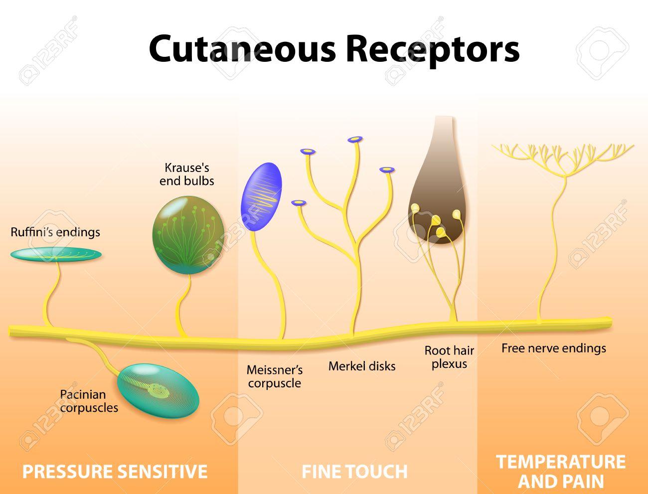 Cutaneous Receptors. Sensory Receptors In The Human Skin. Labeled ...