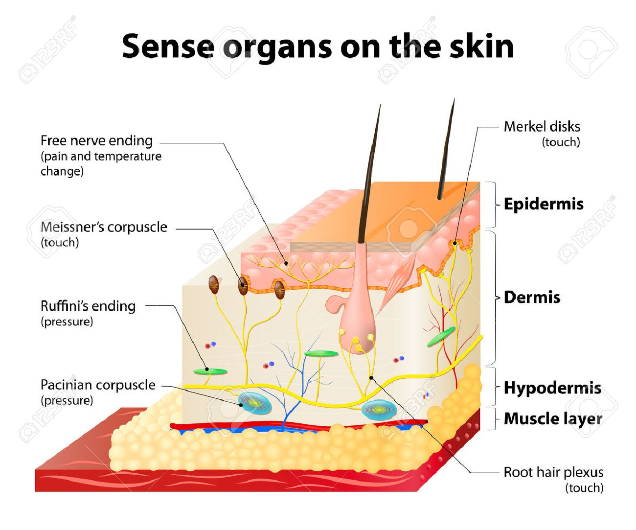 Sense organs on the skin skin layers and principal cutaneous sense organs on the skin skin layers and principal cutaneous receptors stock vector 40159362 pooptronica Image collections