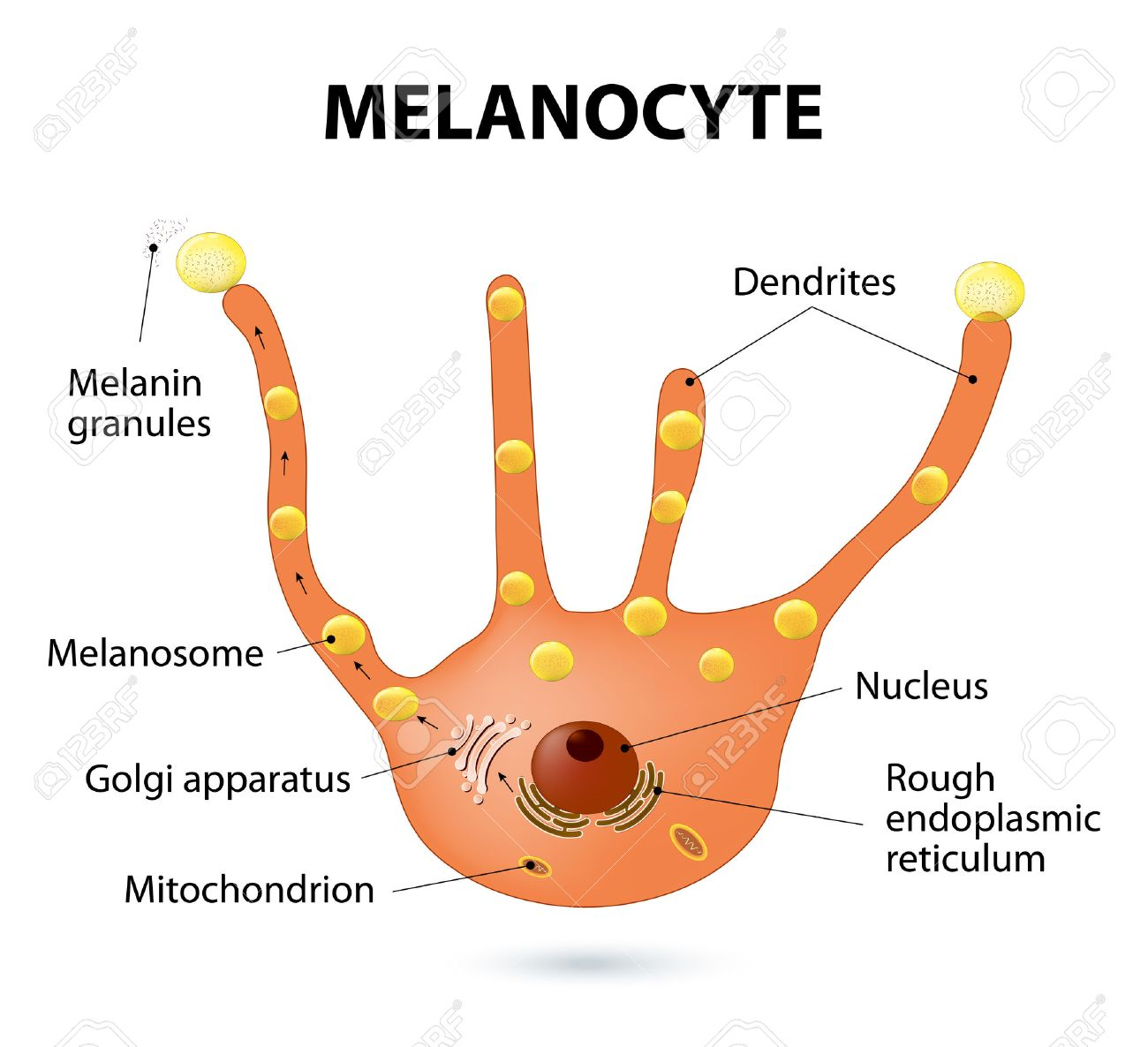 melanocyte, melanin and melanogenesis  melanocyte - melanin producing cells   melanin is the pigment