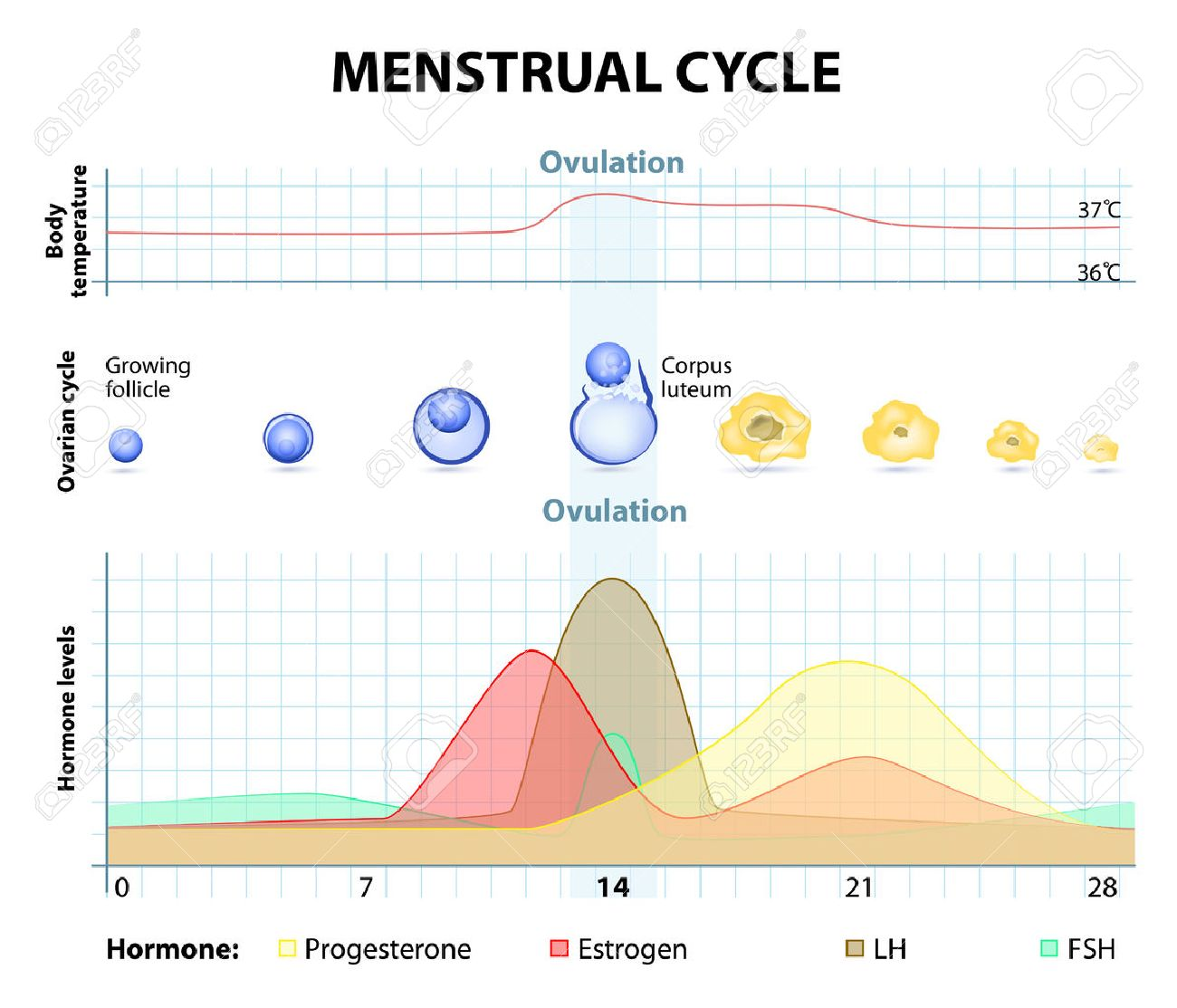 Menstrual cycle increase and decrease of the hormones graph menstrual cycle increase and decrease of the hormones graph also depicts the growth of ccuart Gallery