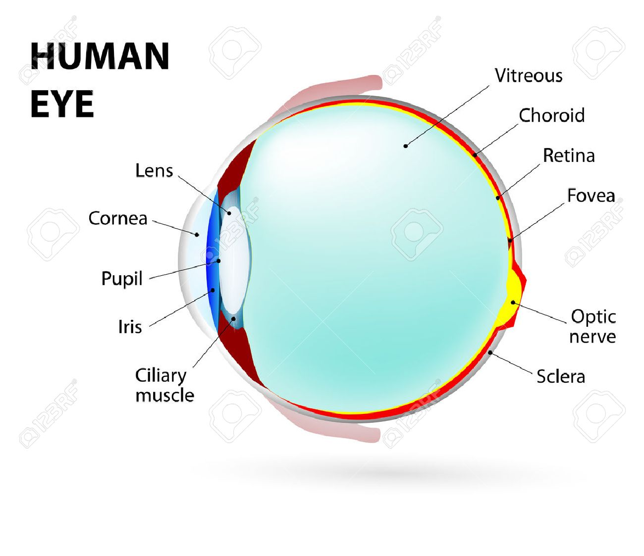 Schematic Diagram Of The Eye. Royalty Free Cliparts, Vectors, And ...