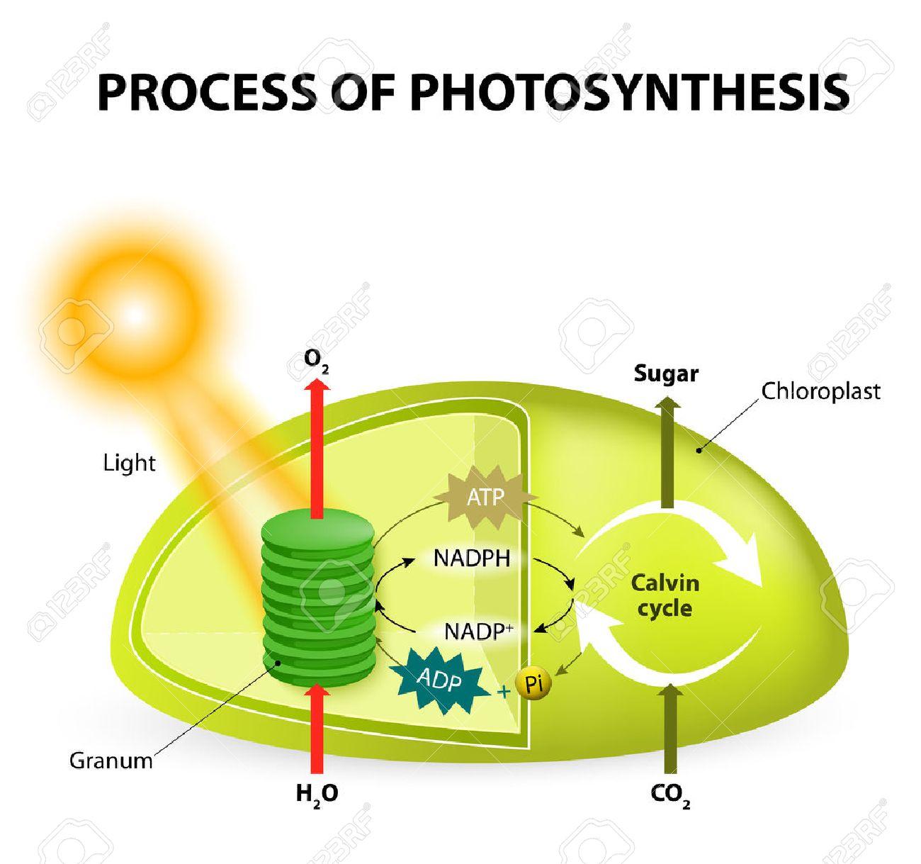 Fotosíntesis. Diagrama Del Proceso De La Fotosíntesis, Que Muestra ...