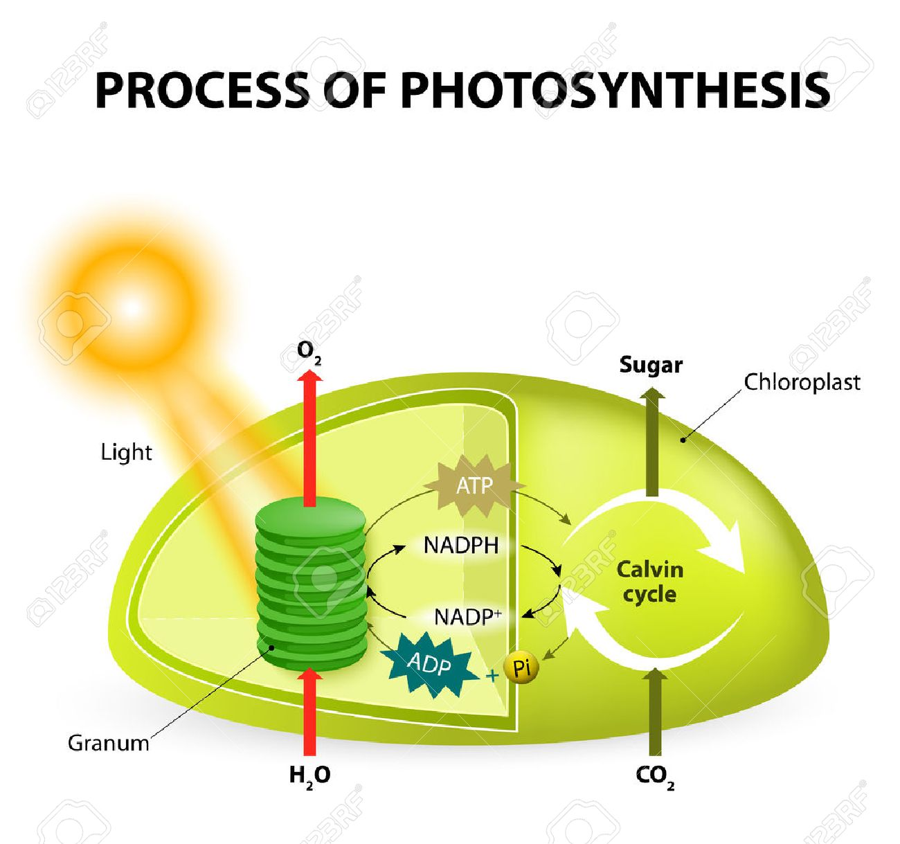 Photosynthesis. Diagram Of The Process Of Photosynthesis, Showing ...