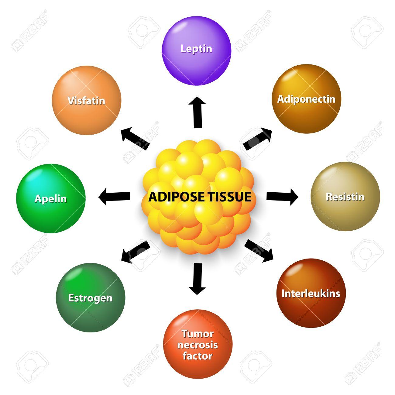 Fettgewebe Ist Eine Endokrine Organ, Das Zahlreiche Proteinhormone ...