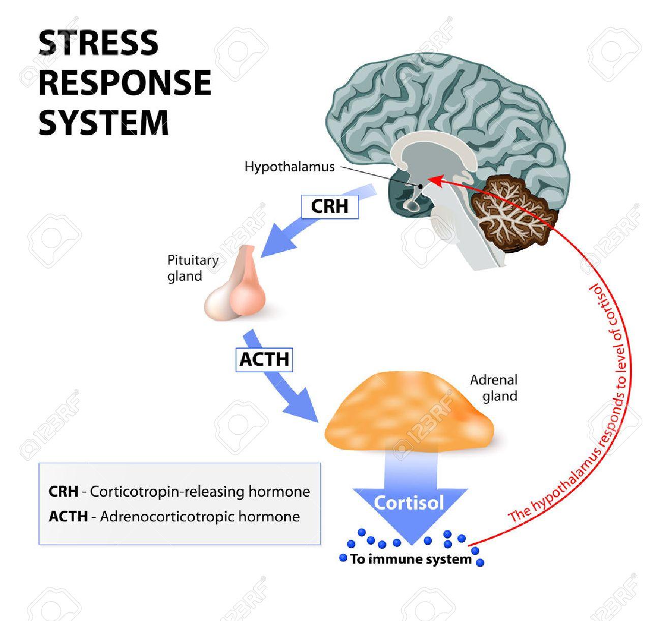 Stress-Antwort-System. Stress Ist Eine Hauptursache Für Hohe ...