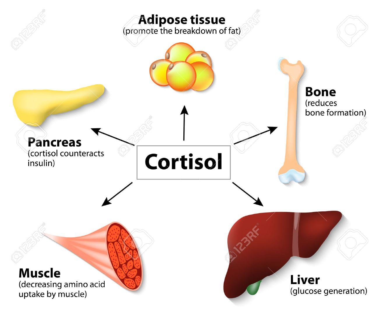 Hormona Cortisol Y órganos Humanos. Funciones Principales De ...