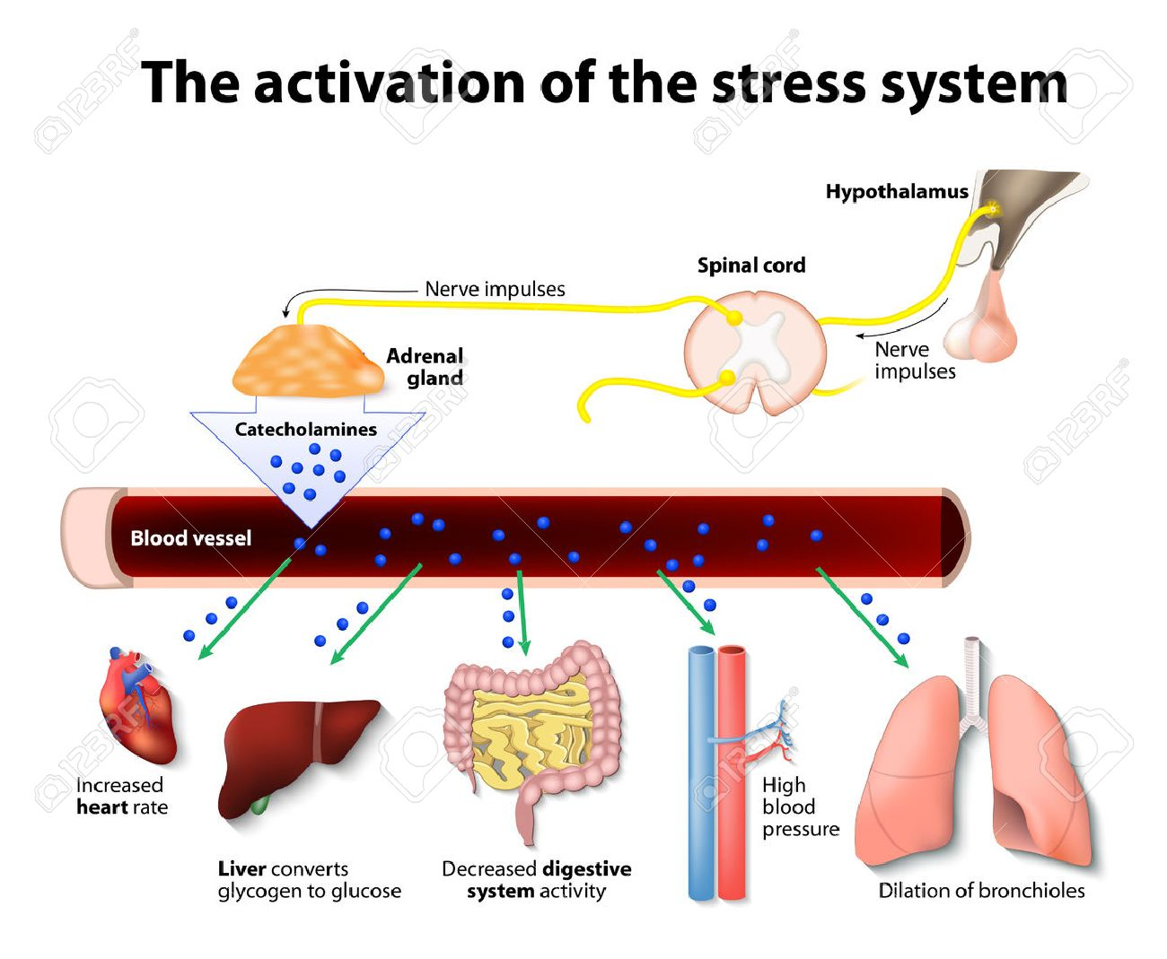 Activation of the stress system - 44545132