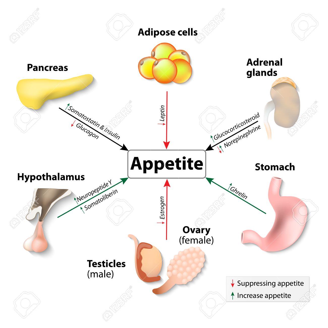 Las Hormonas Y El Apetito. Sistema Endocrino Humano. Órganos Y ...