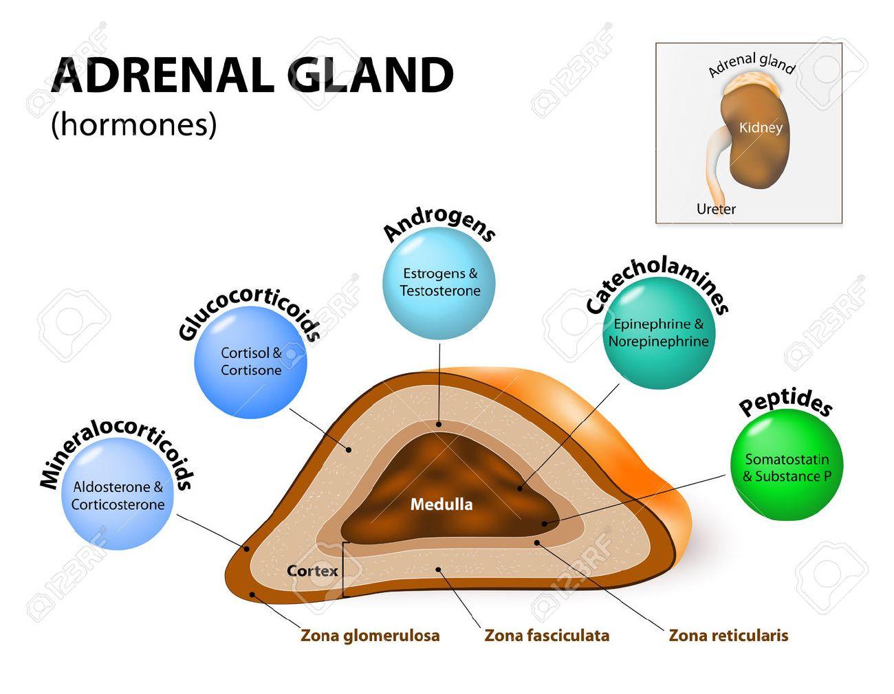 Nebenniere Hormon-Sekretion. Nebennieren Sitzen Auf Den Nieren Und ...
