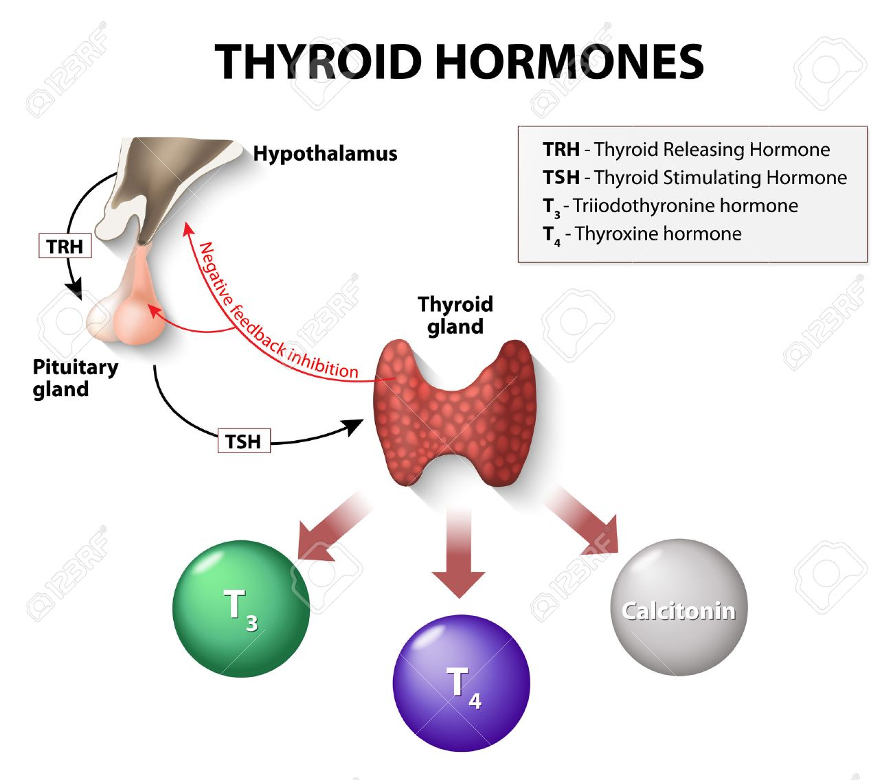 Thyroid hormones human endocrine system royalty free cliparts thyroid hormones human endocrine system stock vector 44721853 ccuart Choice Image