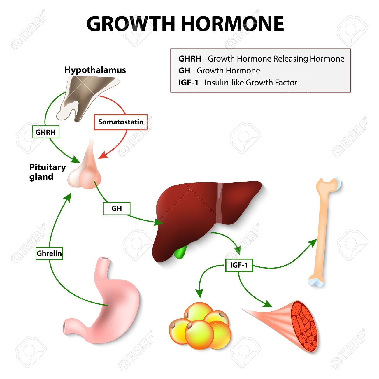 Growth Hormone Gh Or Somatotropin Secreted By The Pituitary