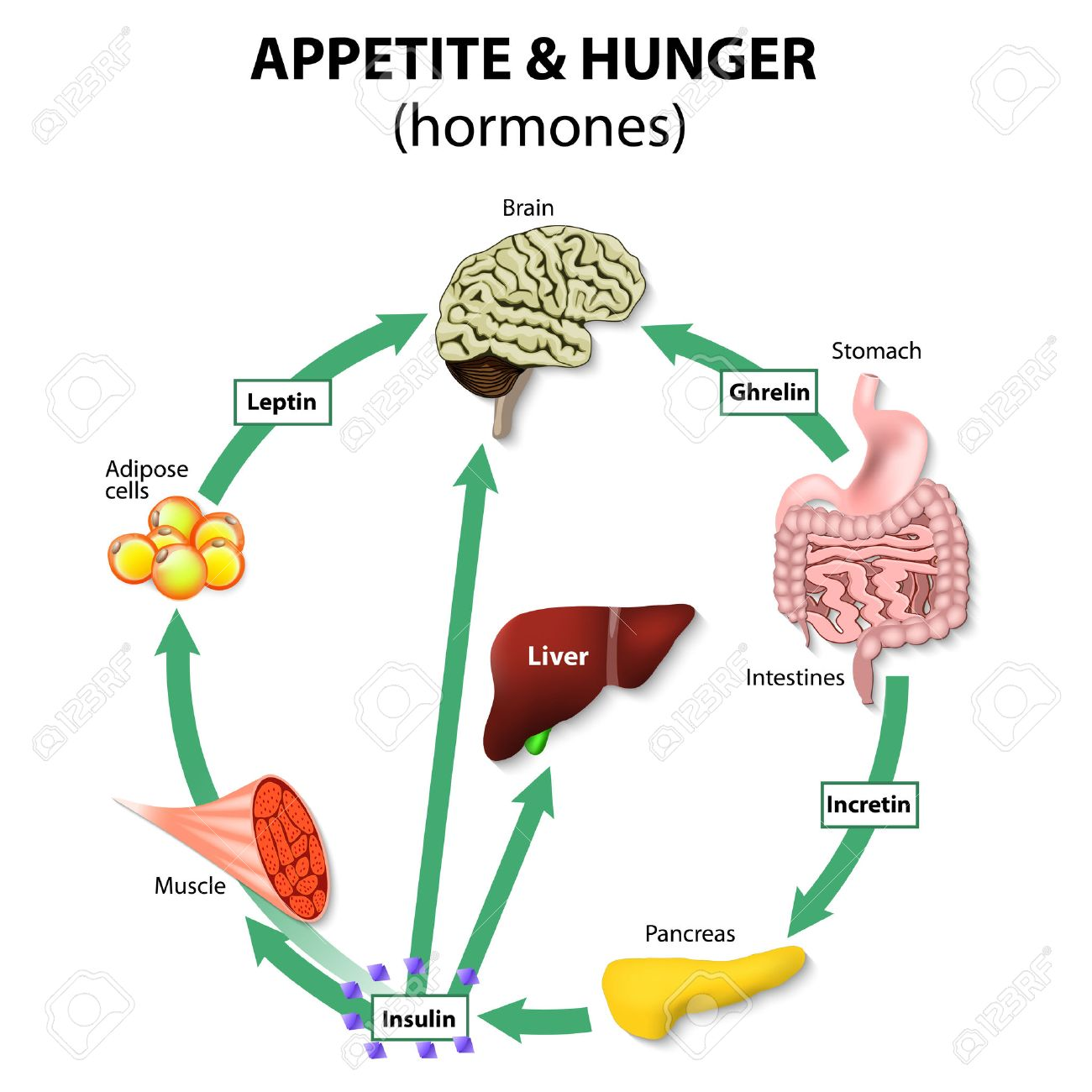hormones appetite & hunger. human endocrine system. incretin