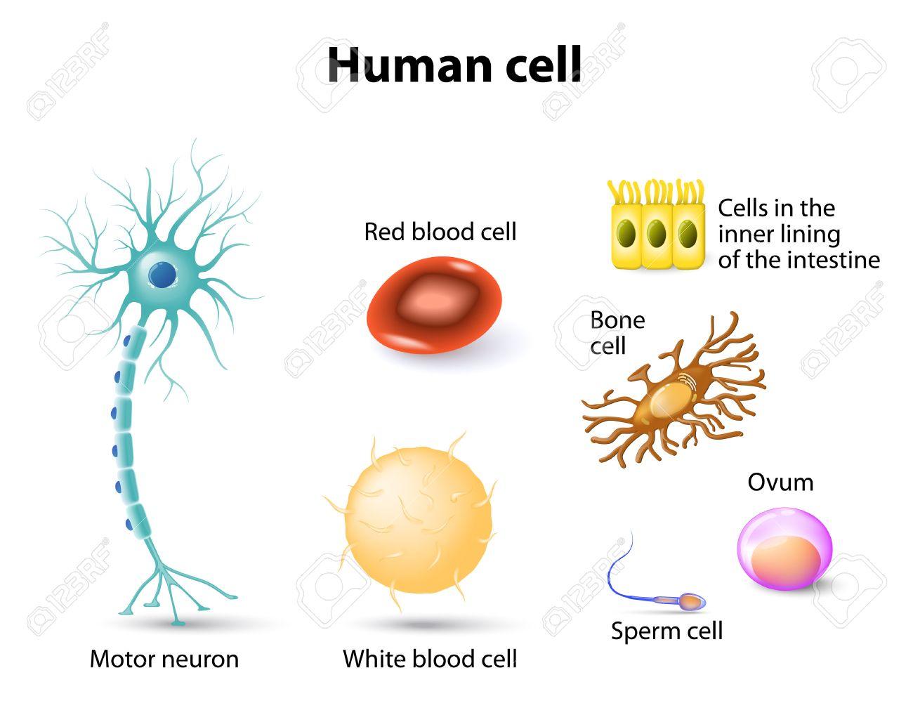 Anatomie Des Menschen. Motor Neuron, Rotes Blutkörperchen Und Weiße ...